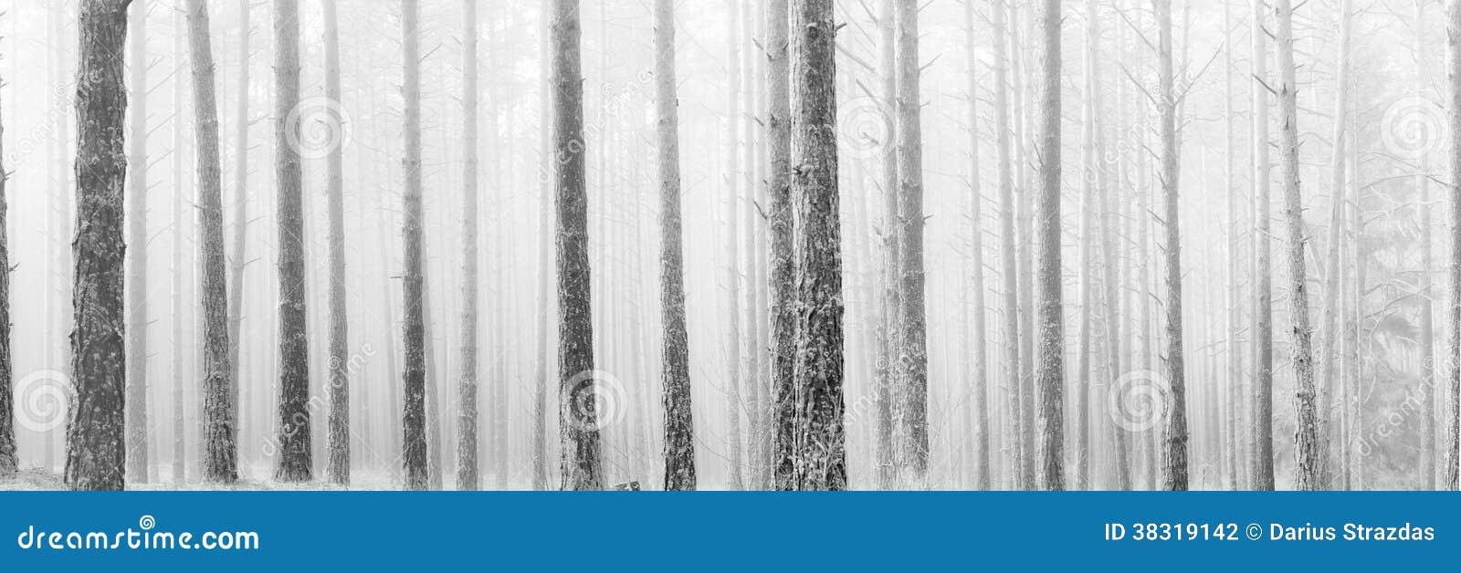 Lange naakte pijnboombomen in de wintermist