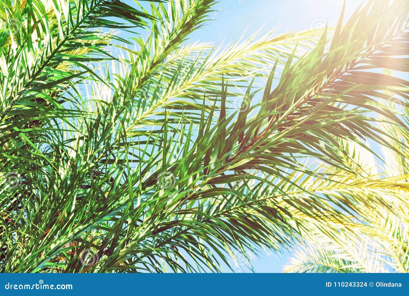 Lange Stekelige Luchtige Takken van Palmen op Heldere Blauwe Hemelachtergrond Gouden Roze Peachy Pastelkleurzonlicht Tropisch Geb