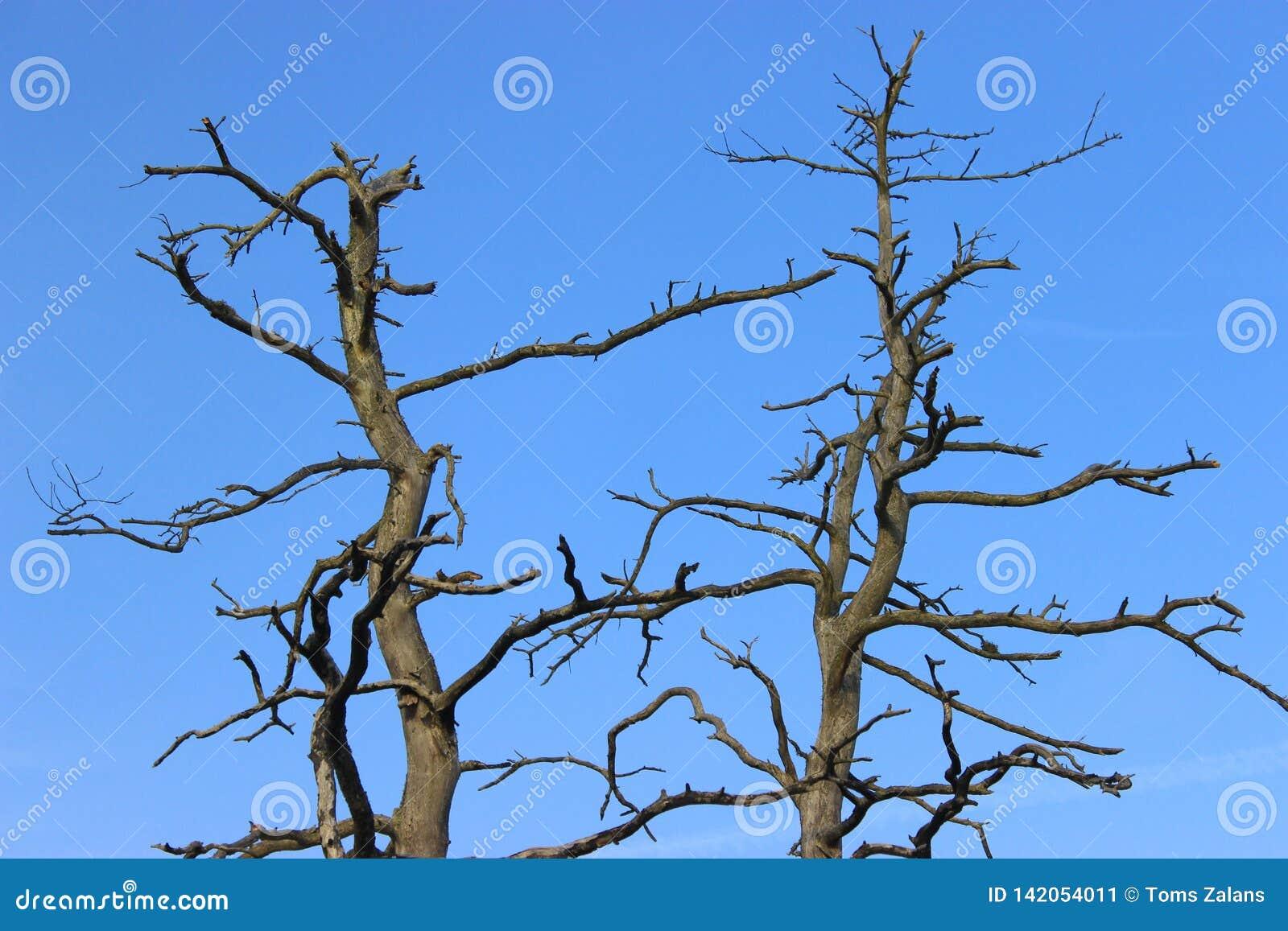 Lange tote Kiefer mit squiggly und dunklen Niederlassungen ohne Barke Ansicht des Wipfels und der blauen Himmel lettland