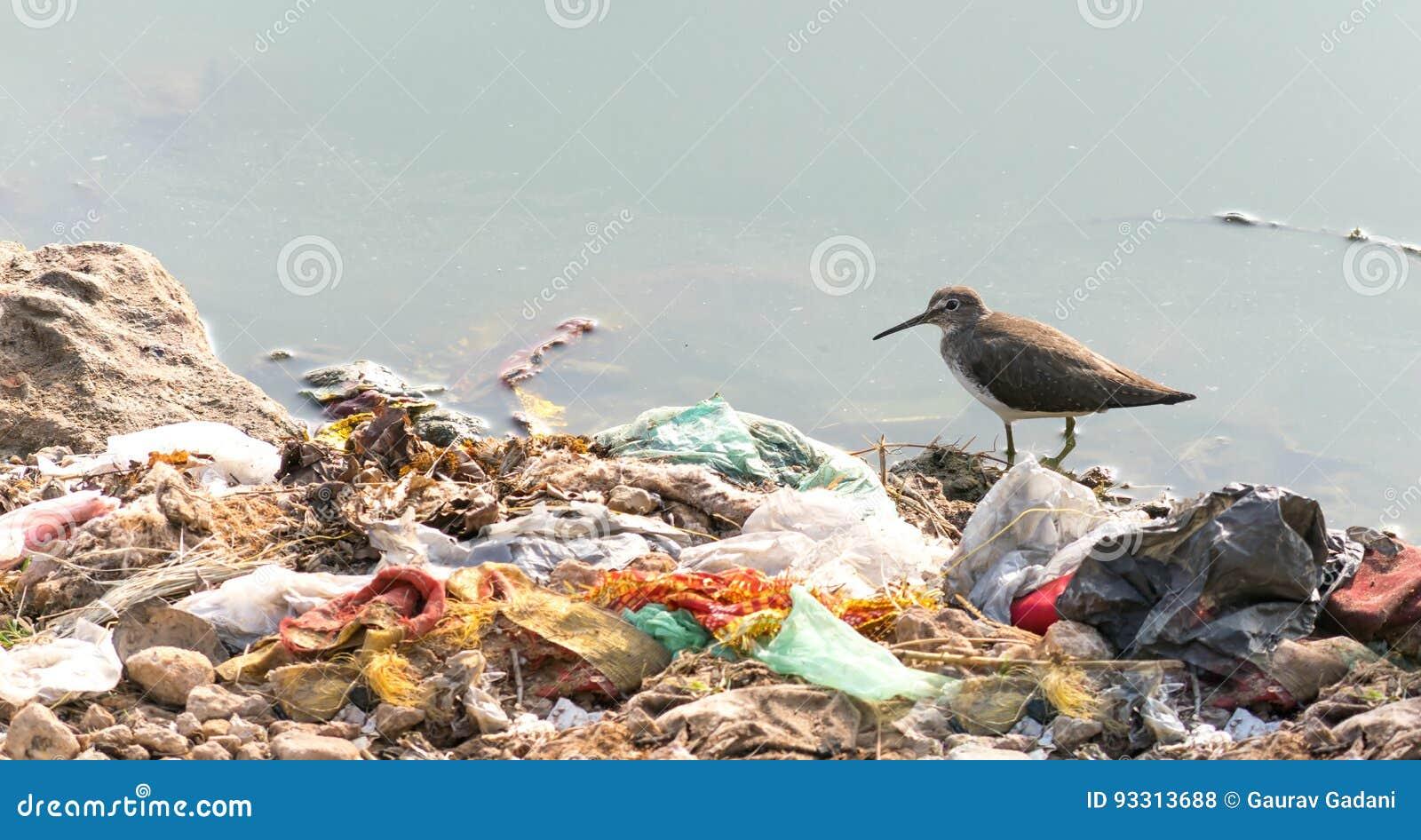 Langer berechneter Dowitcher, der kämpft, um wegen der Verschmutzung zu überleben