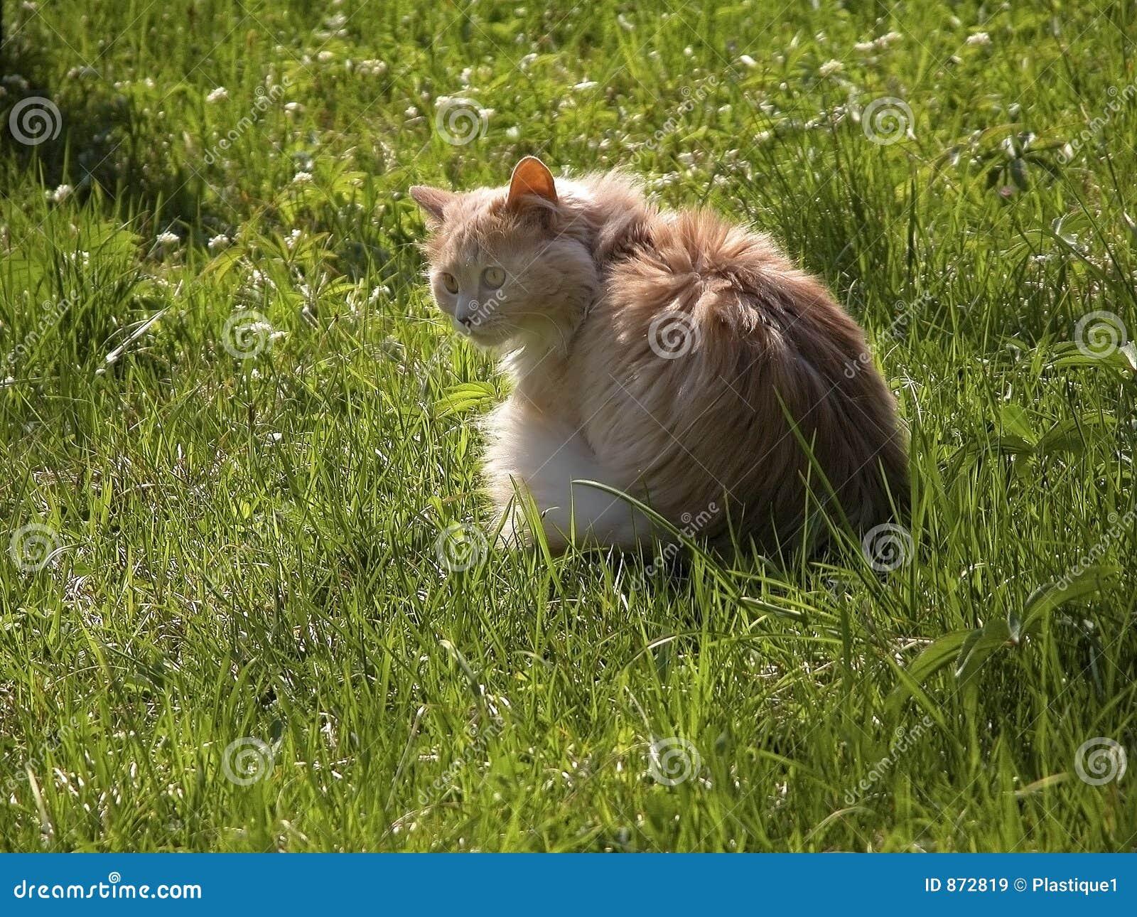 Langhaarige Katze im Gras