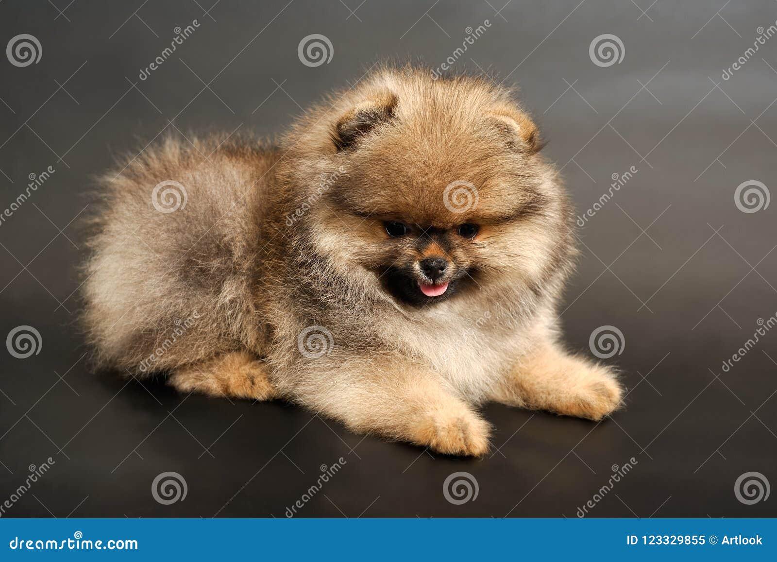 Langhaariger roter Pomeranian-Spitzwelpe