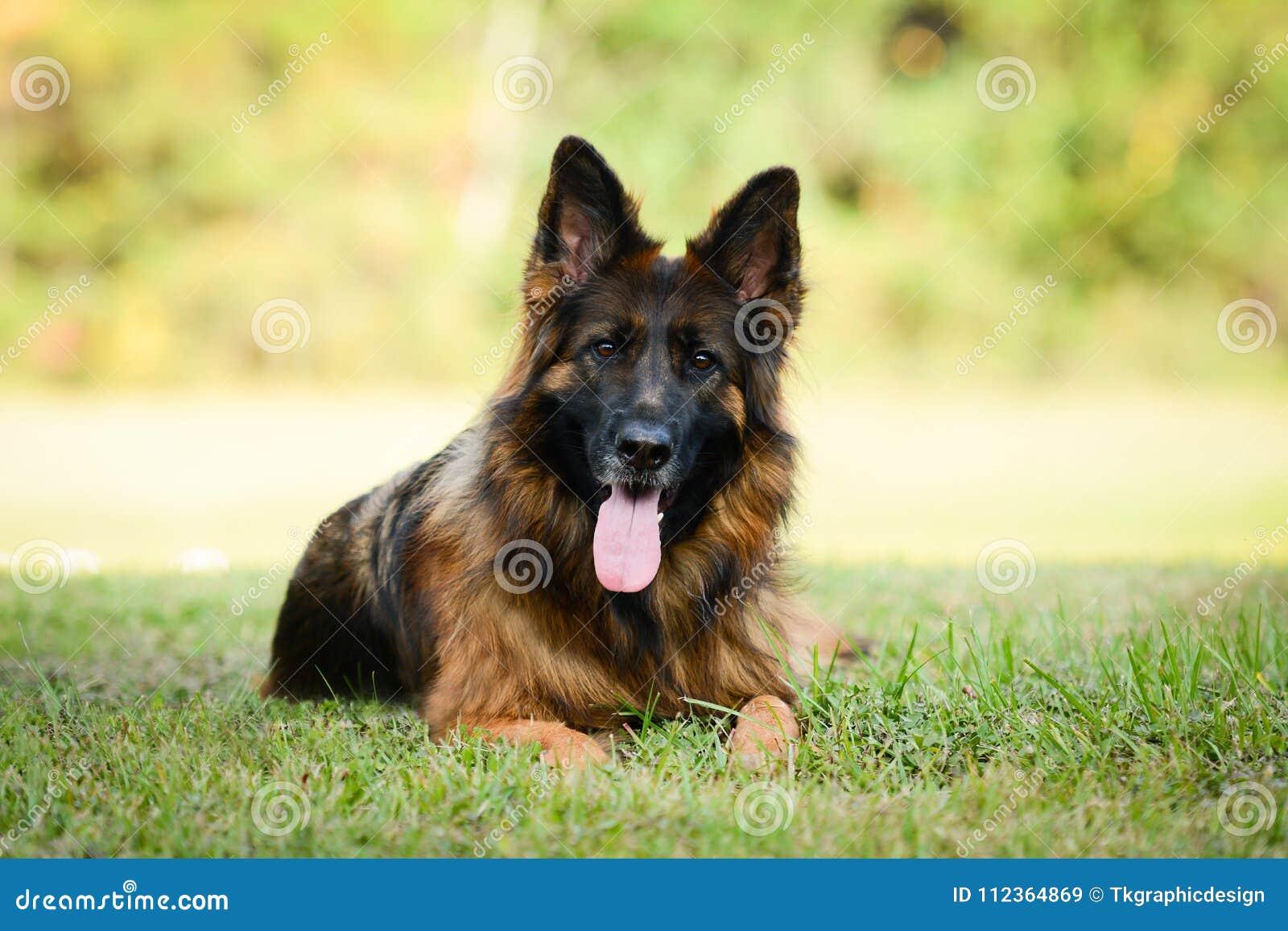 Langhaariger roter und schwarzer Schäferhundhund