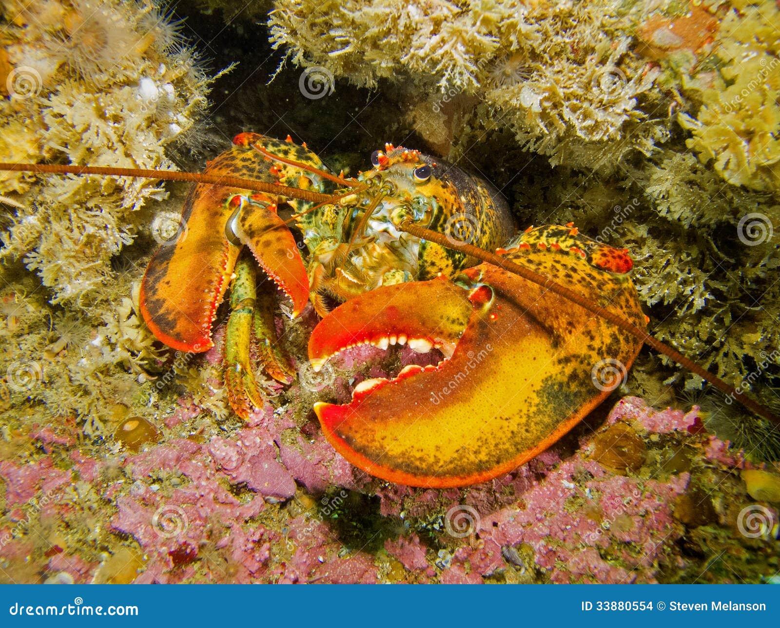 Langosta En Arrecife De Coral Foto de archivo - Imagen de detalles ...