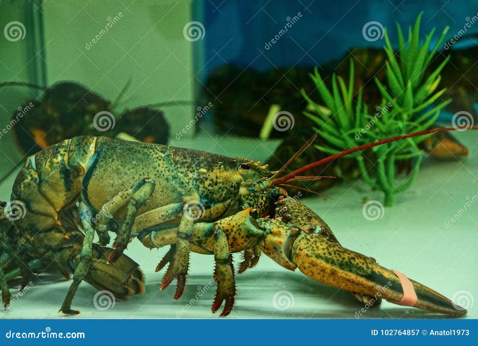 ¿Está prohibido comer animales domésticos en Europa? Langosta-viva-grande-en-el-agua-acuario-102764857