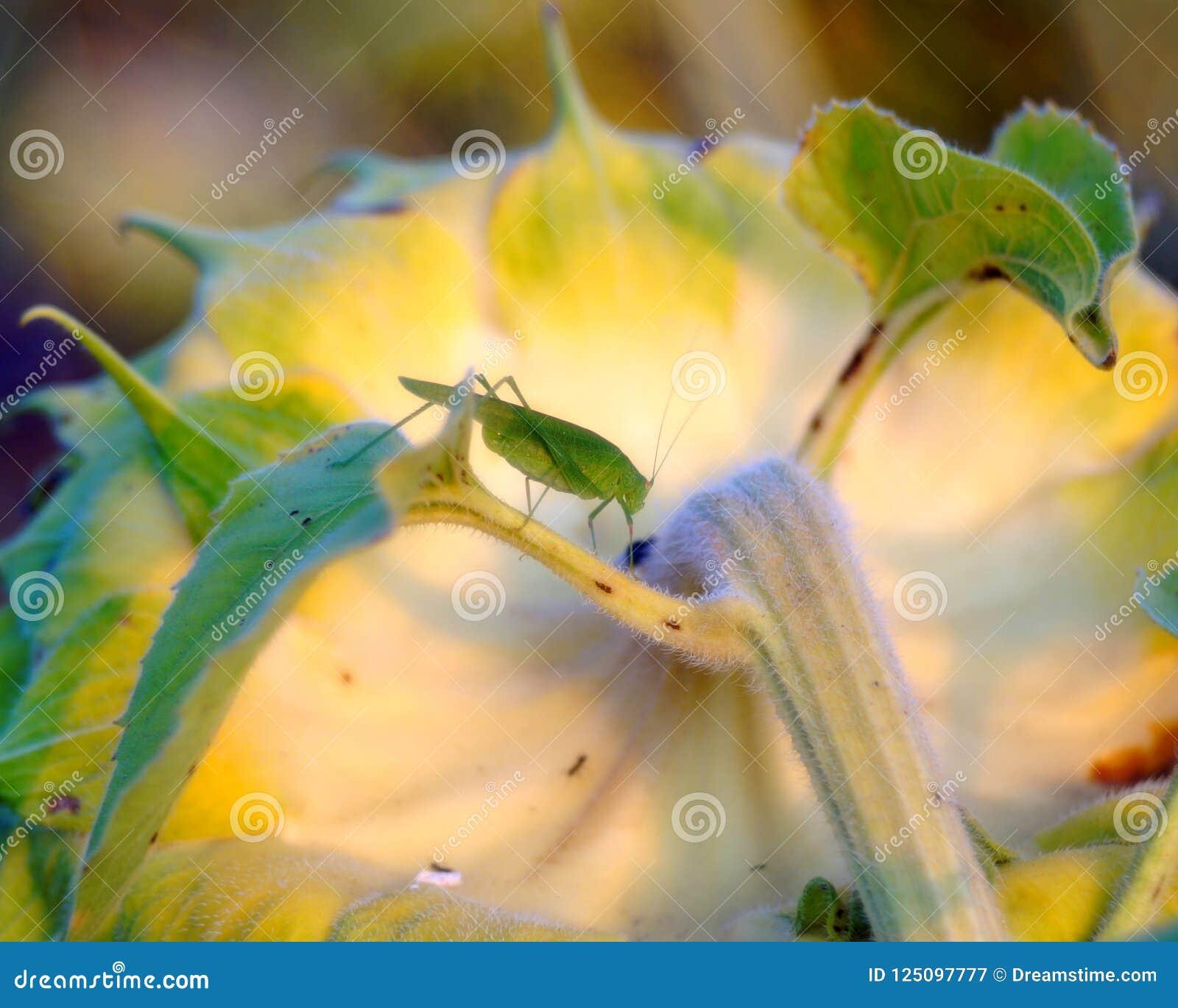 Langostas en un girasol floreciente