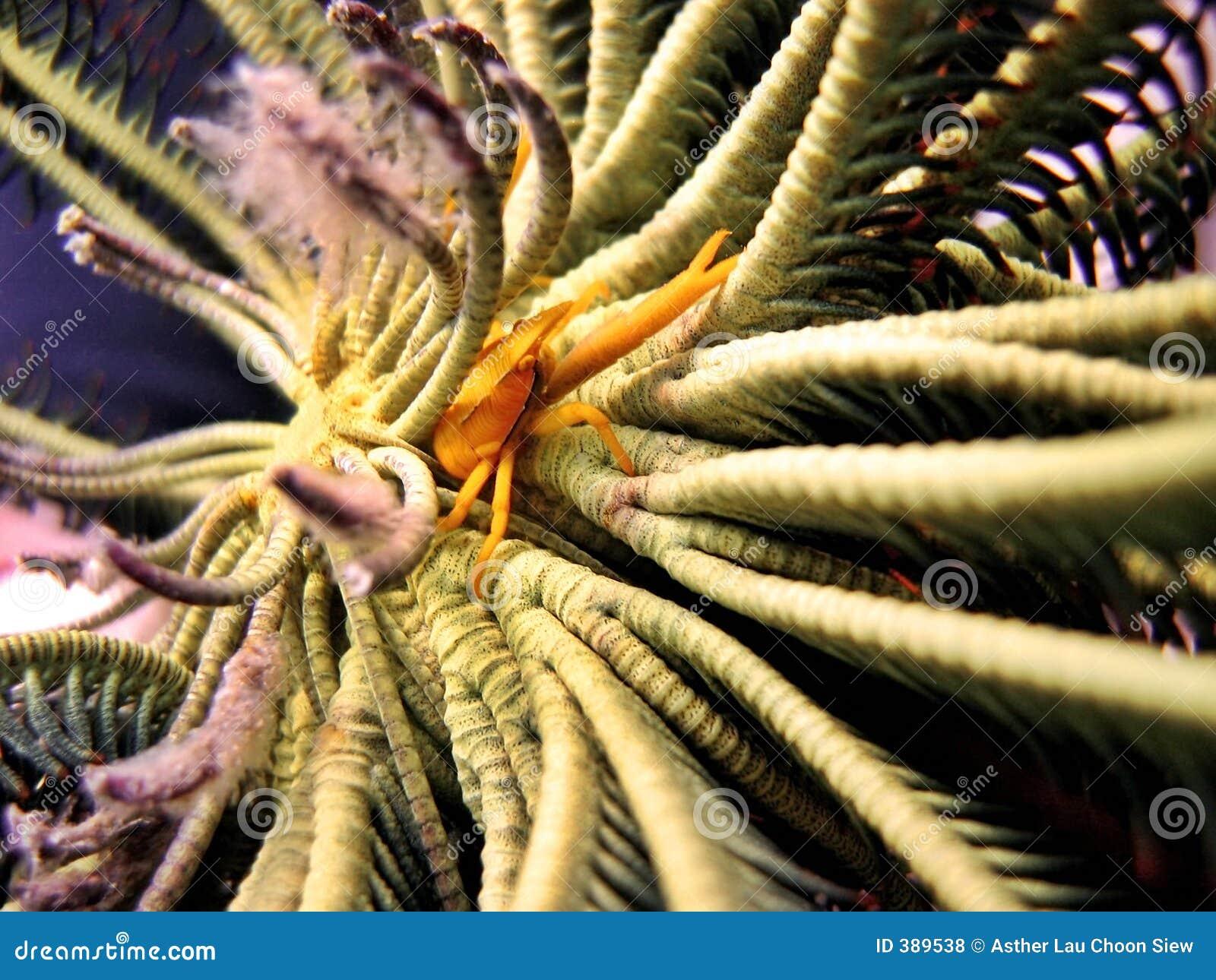 Langoustine accroupie de Crinoid
