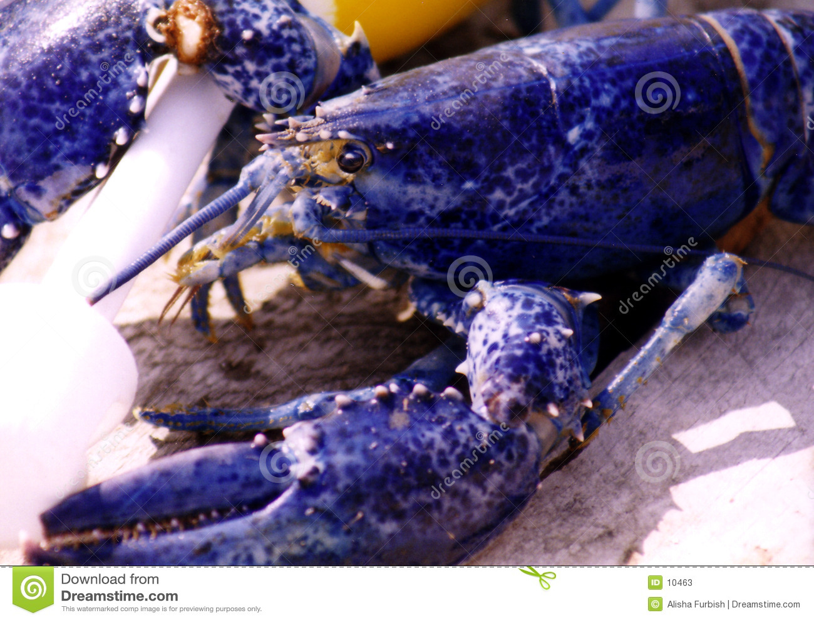 Langoustine bleue
