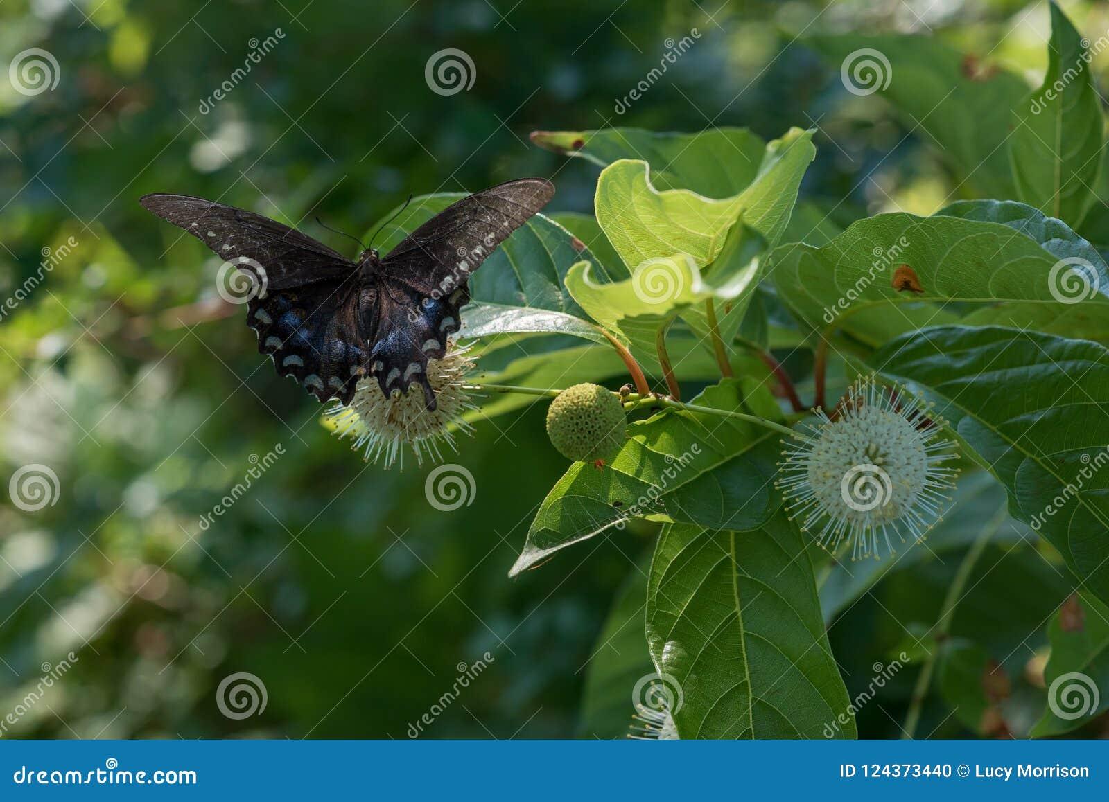 Langzaam verdwenen Zwarte Swallowtail-Vlinder bij Buttonbush-de Bloei