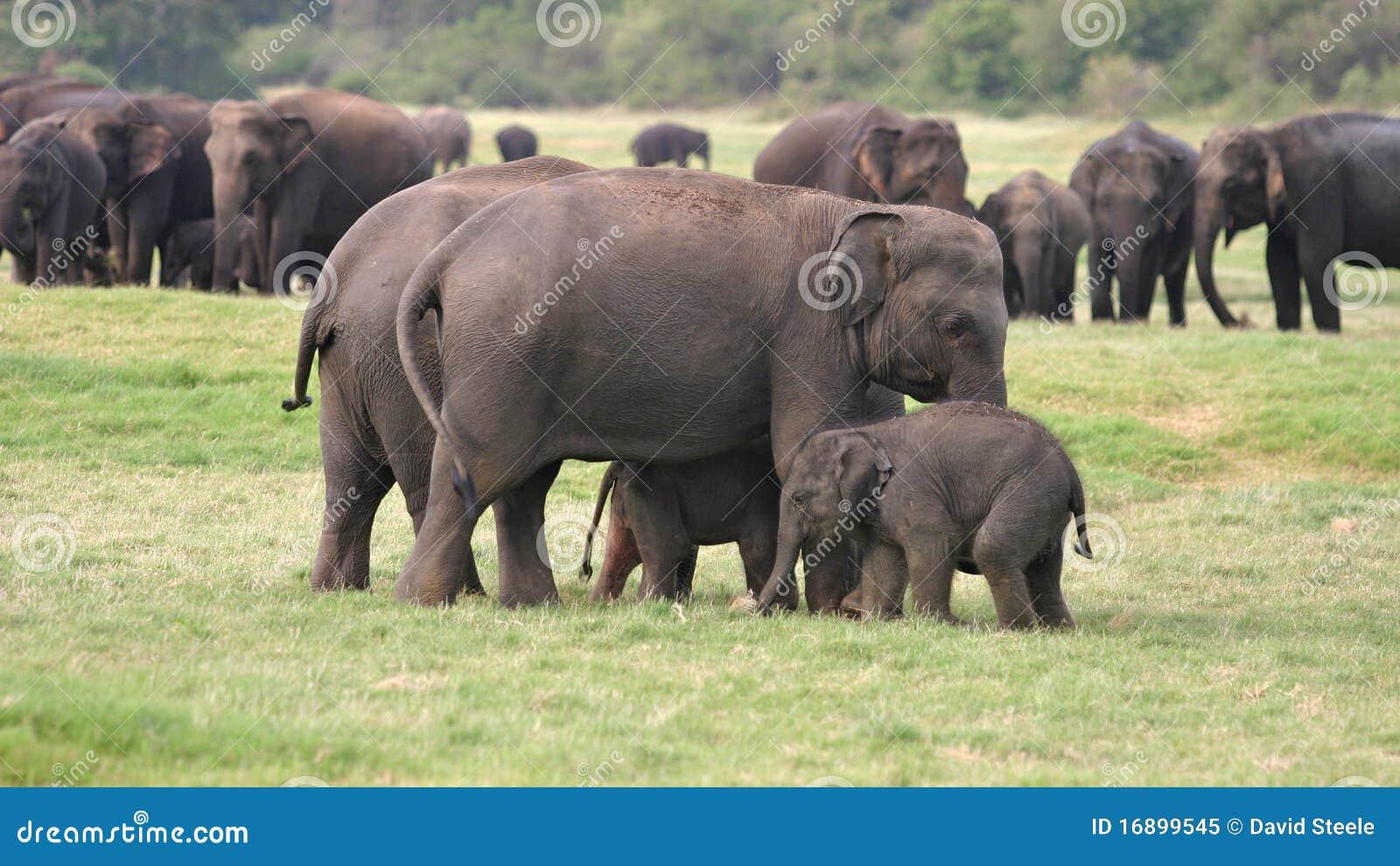 Lankan sri ελεφάντων