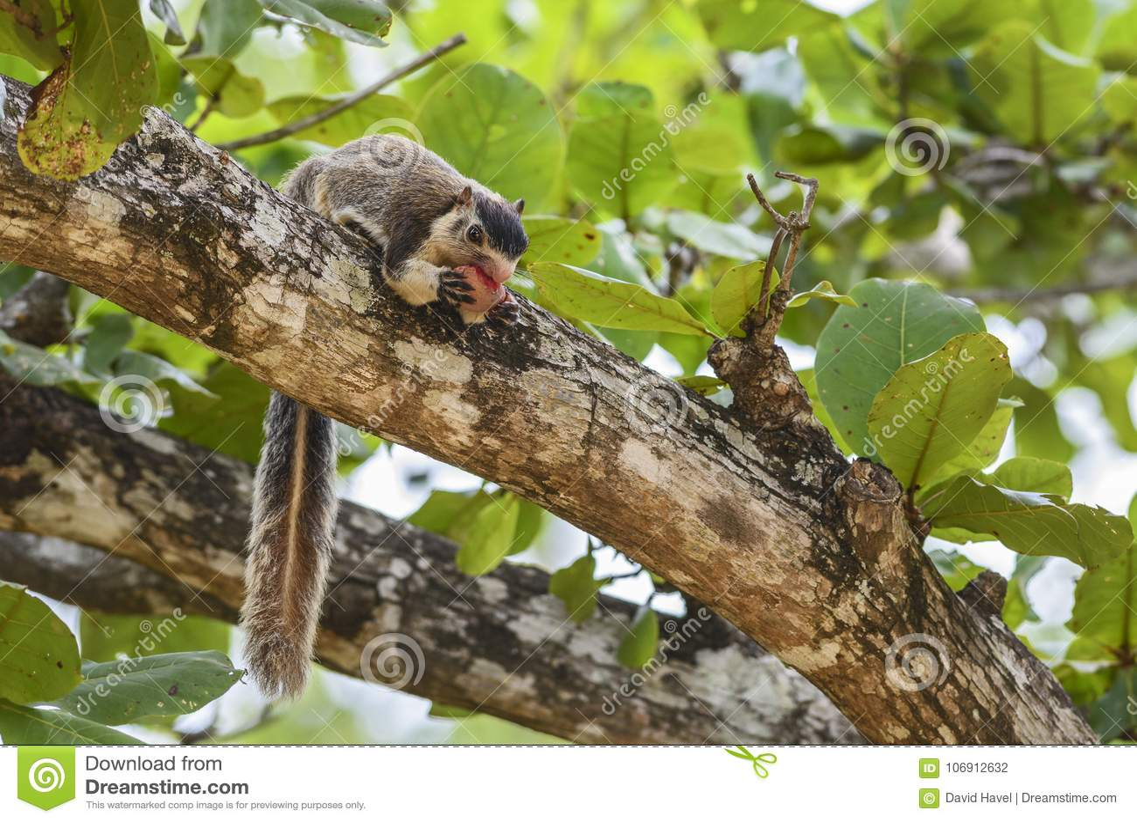 Lankijczyk Gigantyczna wiewiórka - Ratufa macroura, Sri Lanka