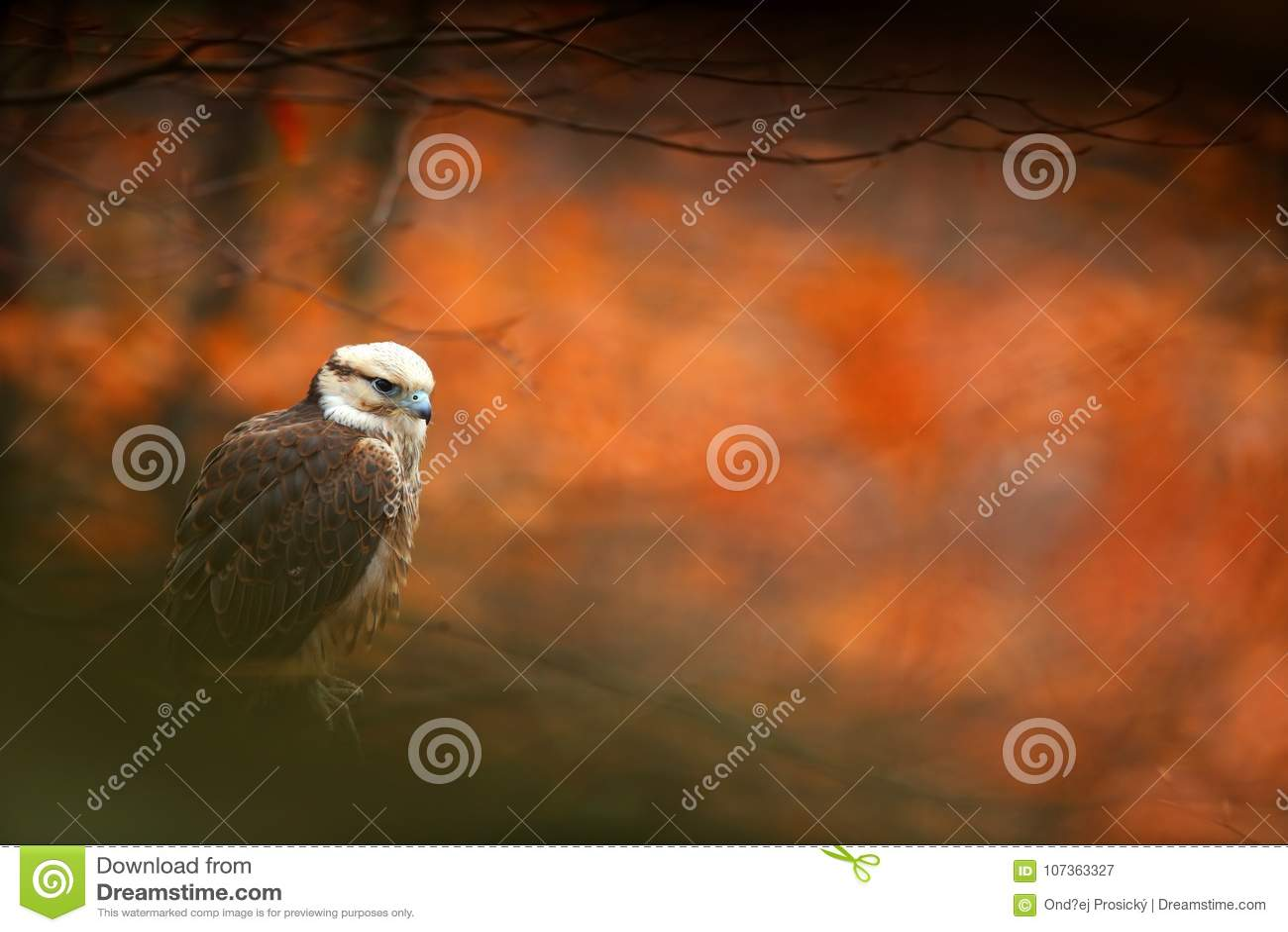 Lanner Falcon, Falco biarmicus, bird of prey sitting on the stone, orange habitat in the autumn forest, rare animal, France