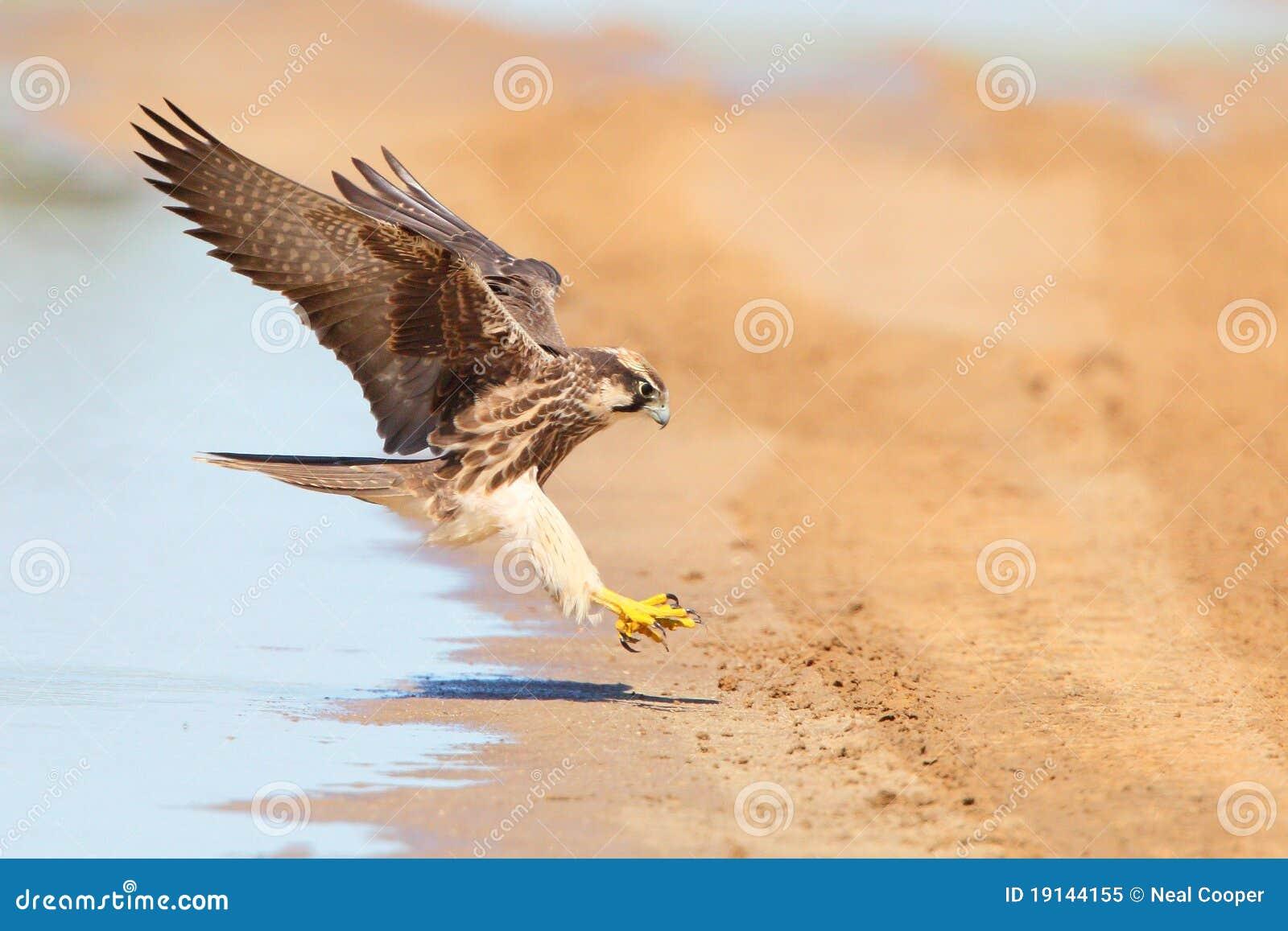 Lanner Falcon in flight landing near water
