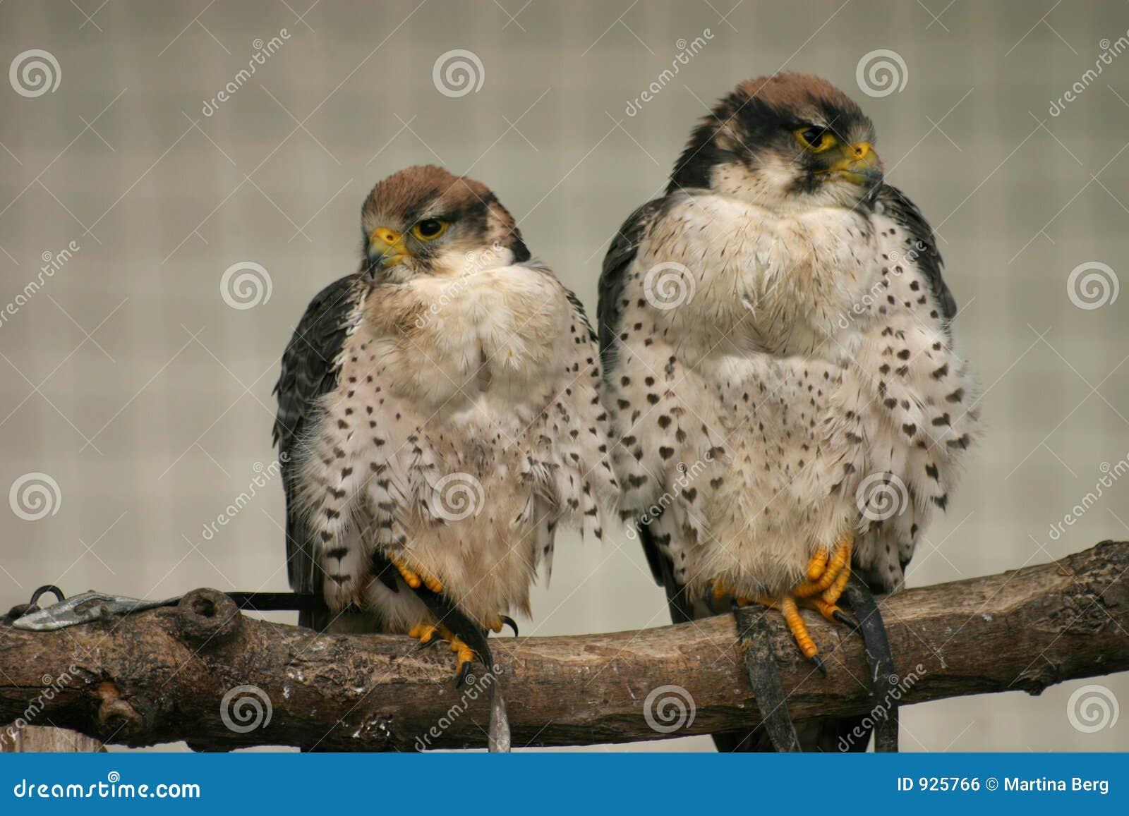 Lanner falcons