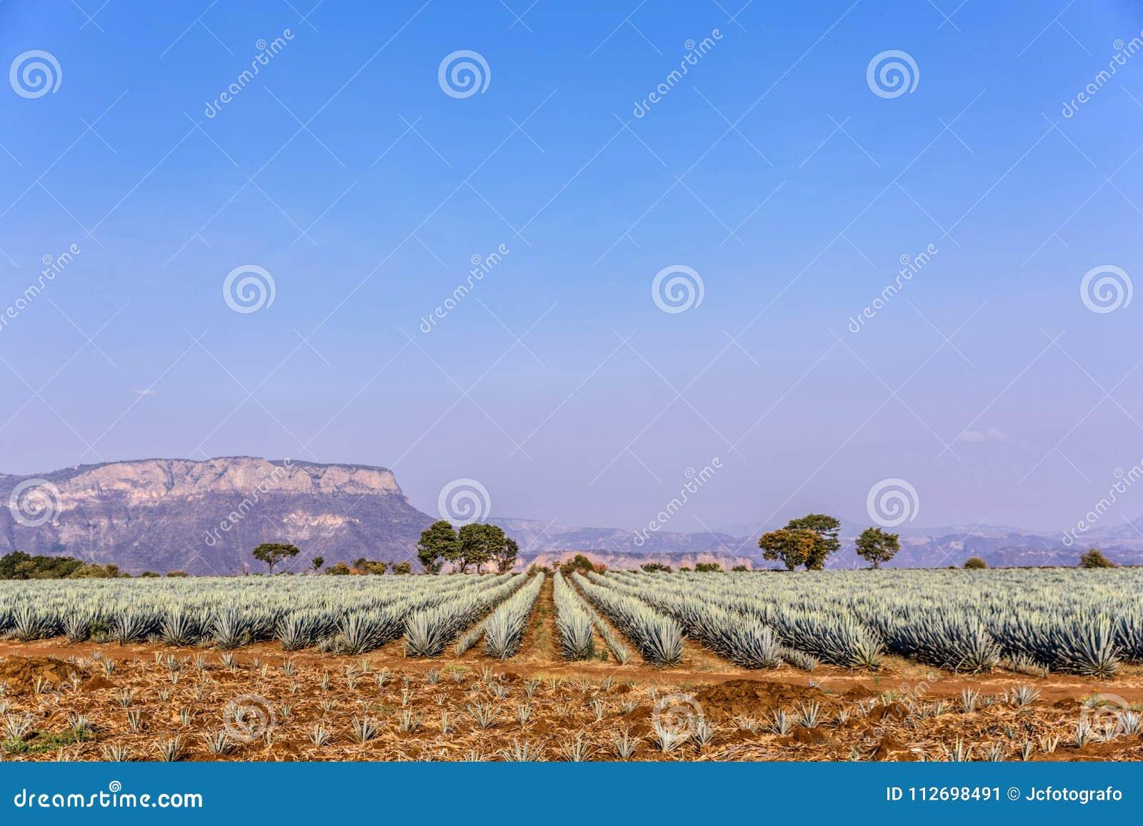 Lanscape d agave de tequila
