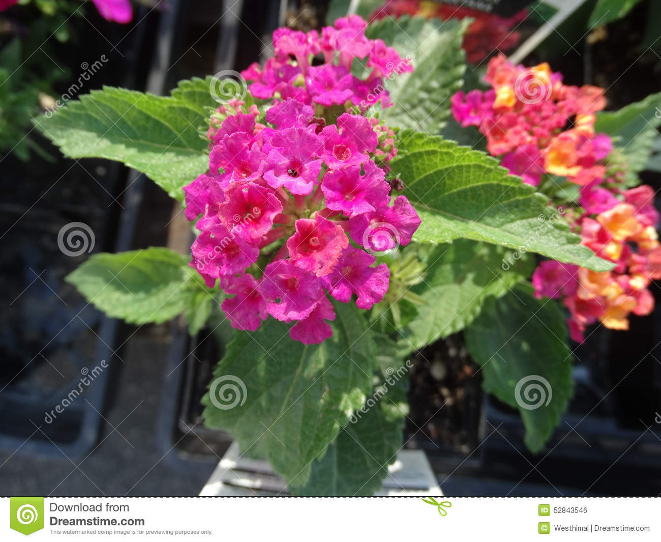 Lantana Camara Little Lucky Hot Pink Stock Photo Image Of Leaves