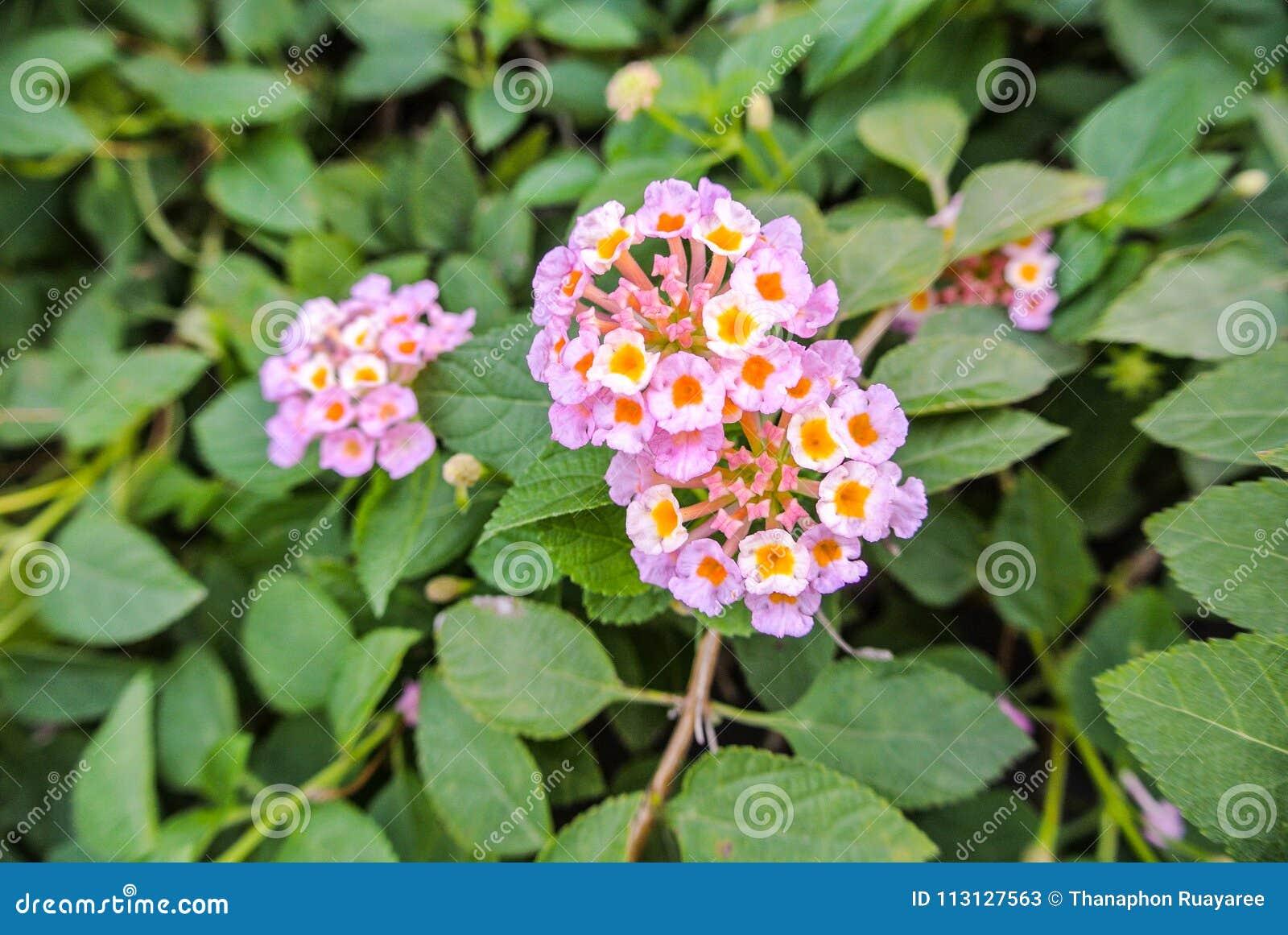 Lantana Camara A Species Of Flowering Plant Stock Image Image Of