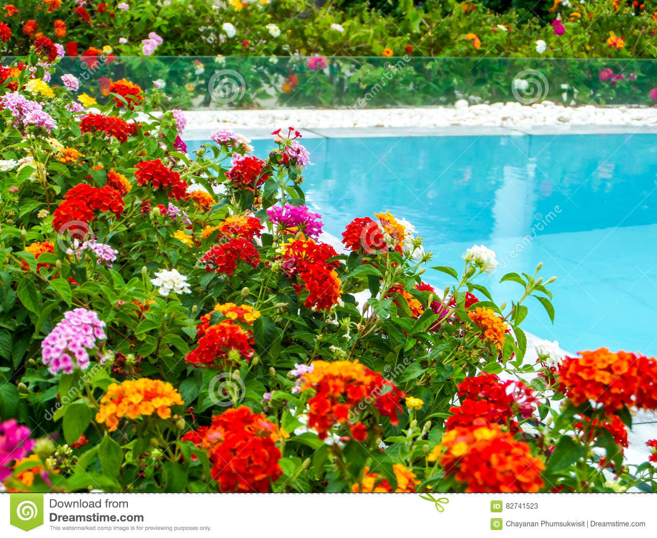 Lantana colorful tone beauty flower between garden for Flowers around swimming pool