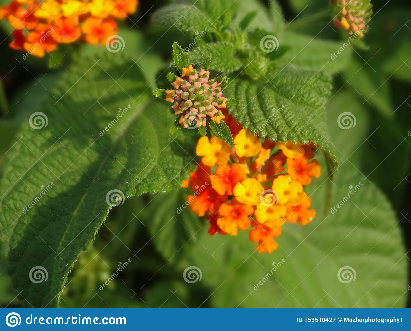 Lantana flowers with green leaves