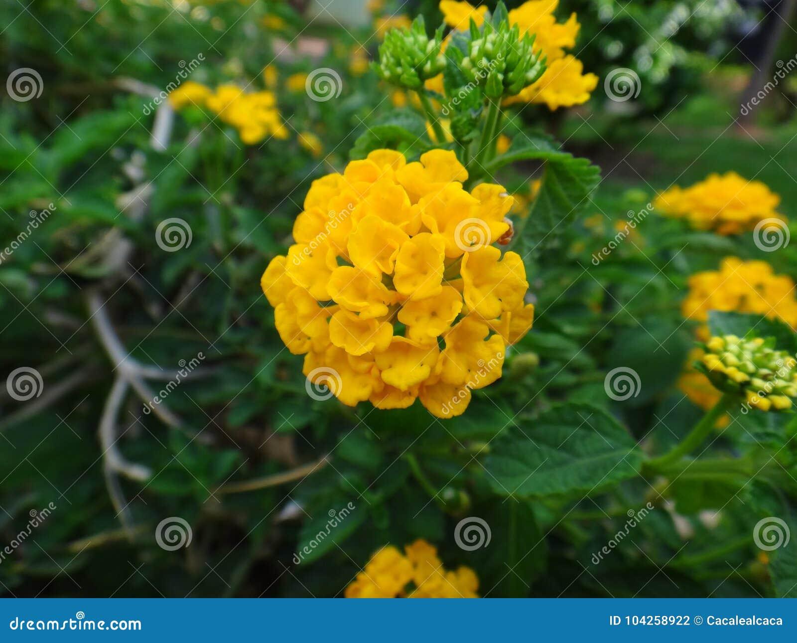 Lantana flowers yellow stock photo image of flattopped 104258922 lantana flowers yellow mightylinksfo