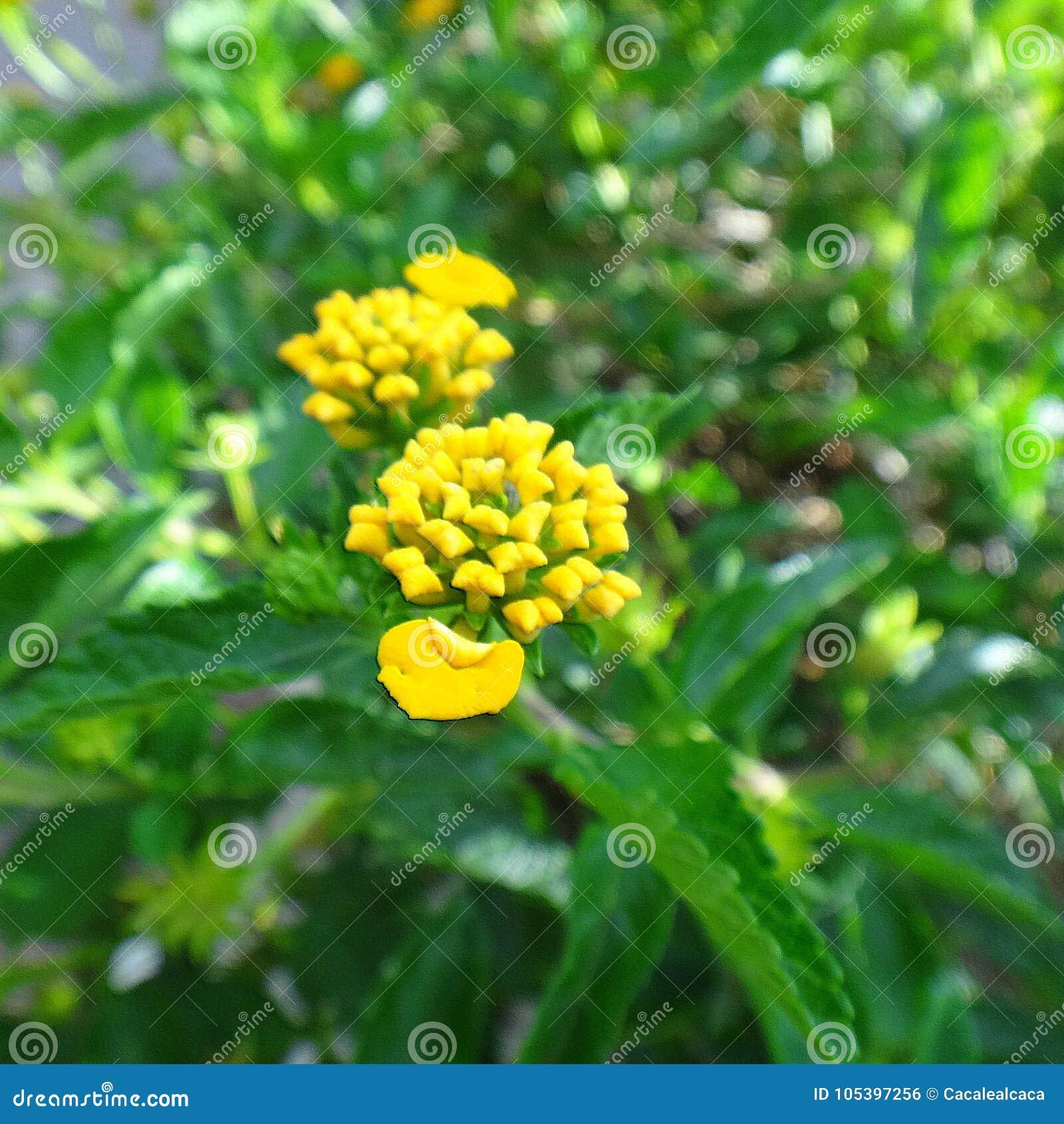 Lantana flowers yellow stock photo image of blossom 105397256 download lantana flowers yellow stock photo image of blossom 105397256 mightylinksfo