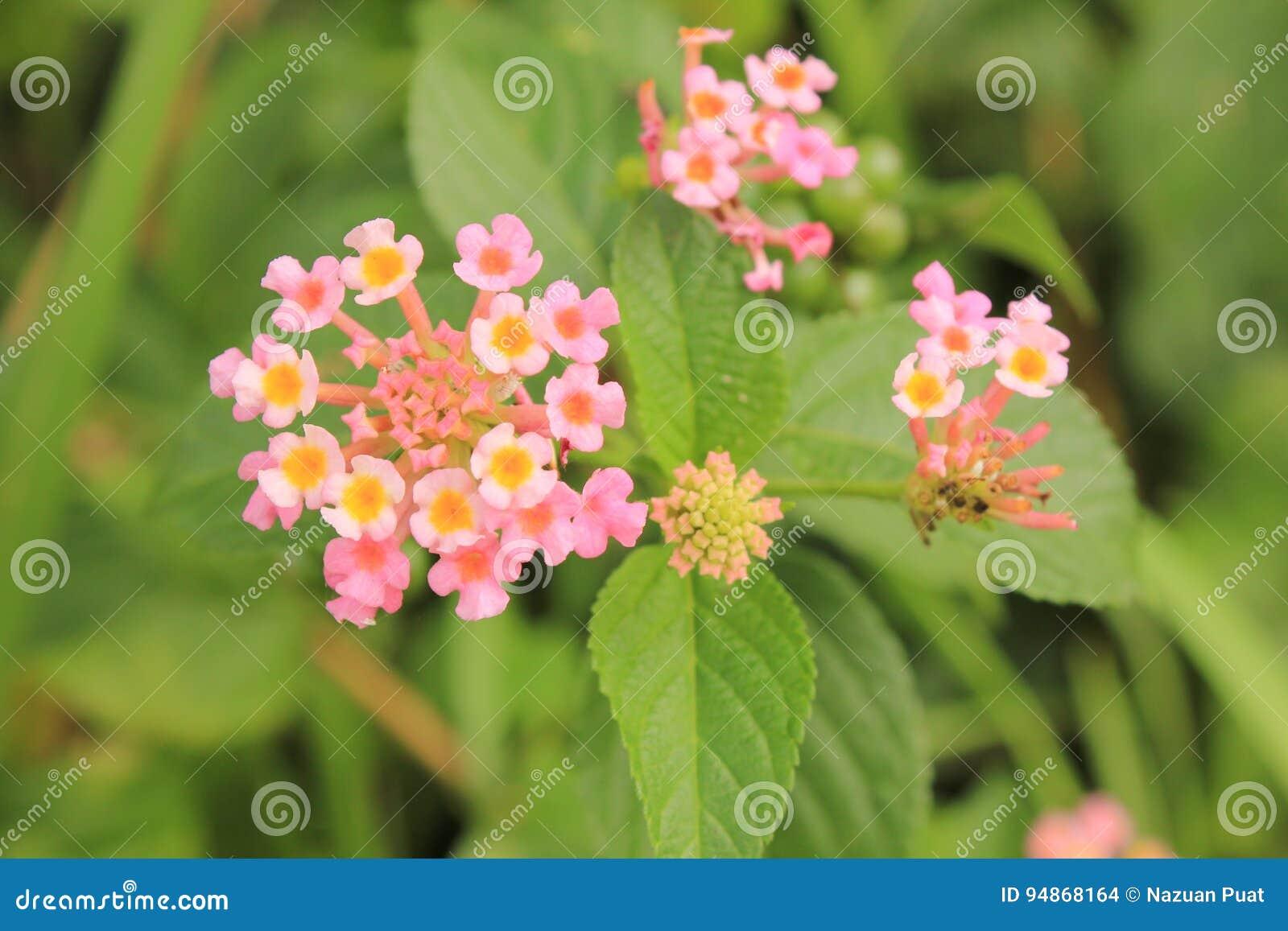 Lantana kwiat