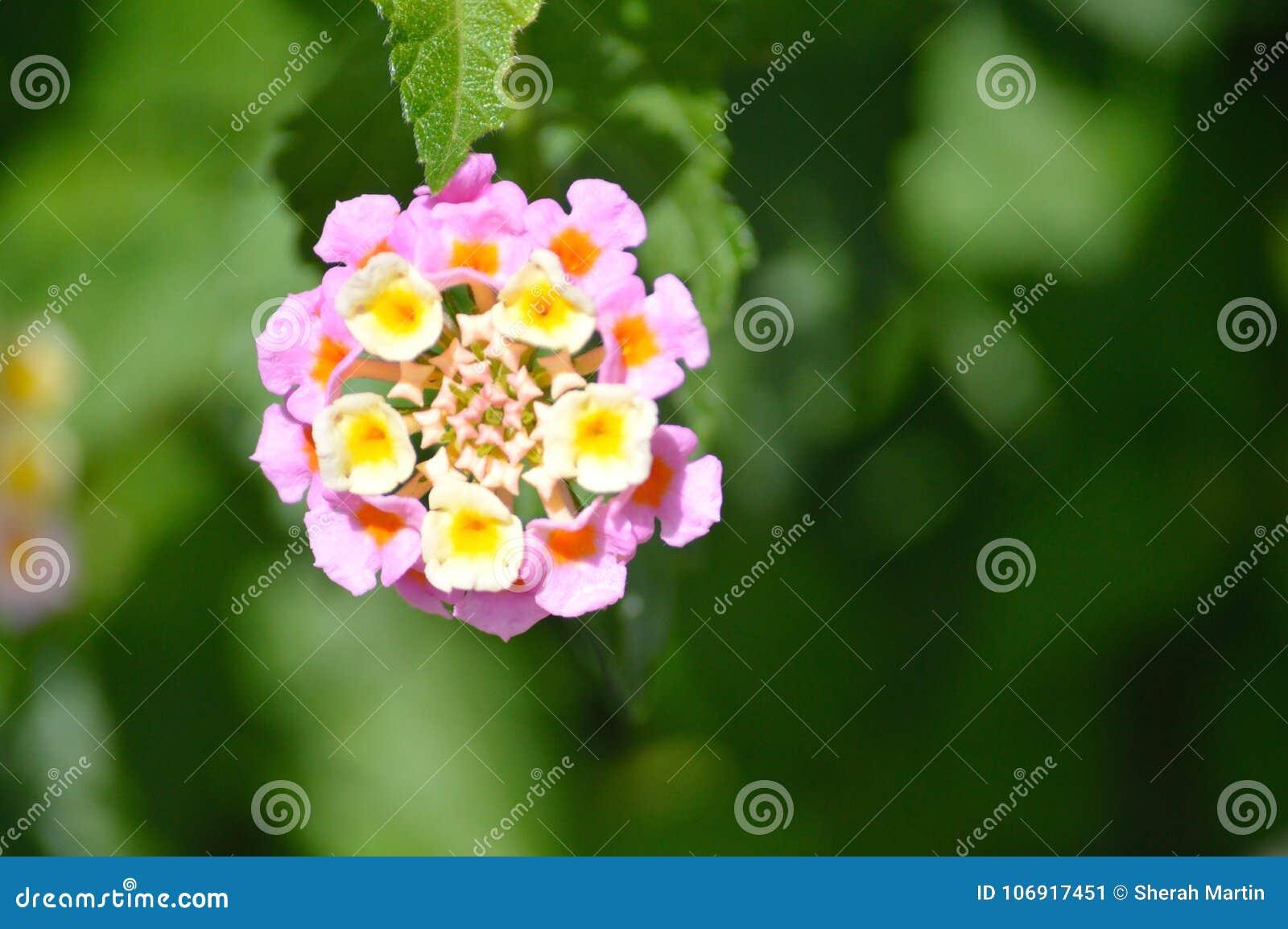 Lantana Pink And Yellow Stock Image Image Of Perennial 106917451