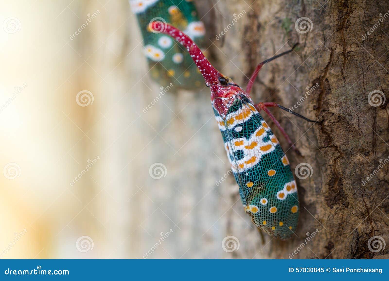 Lanternfly, das Insekt auf Baum