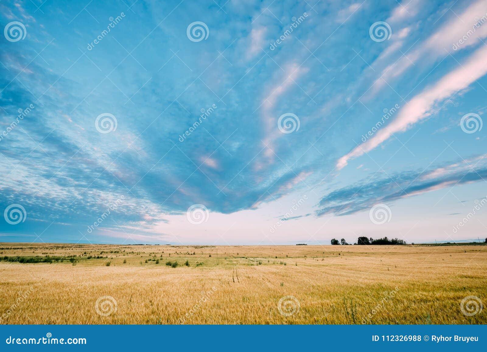 Lantligt landskap av det gula vetefältet på blåa Sunny Sky Background
