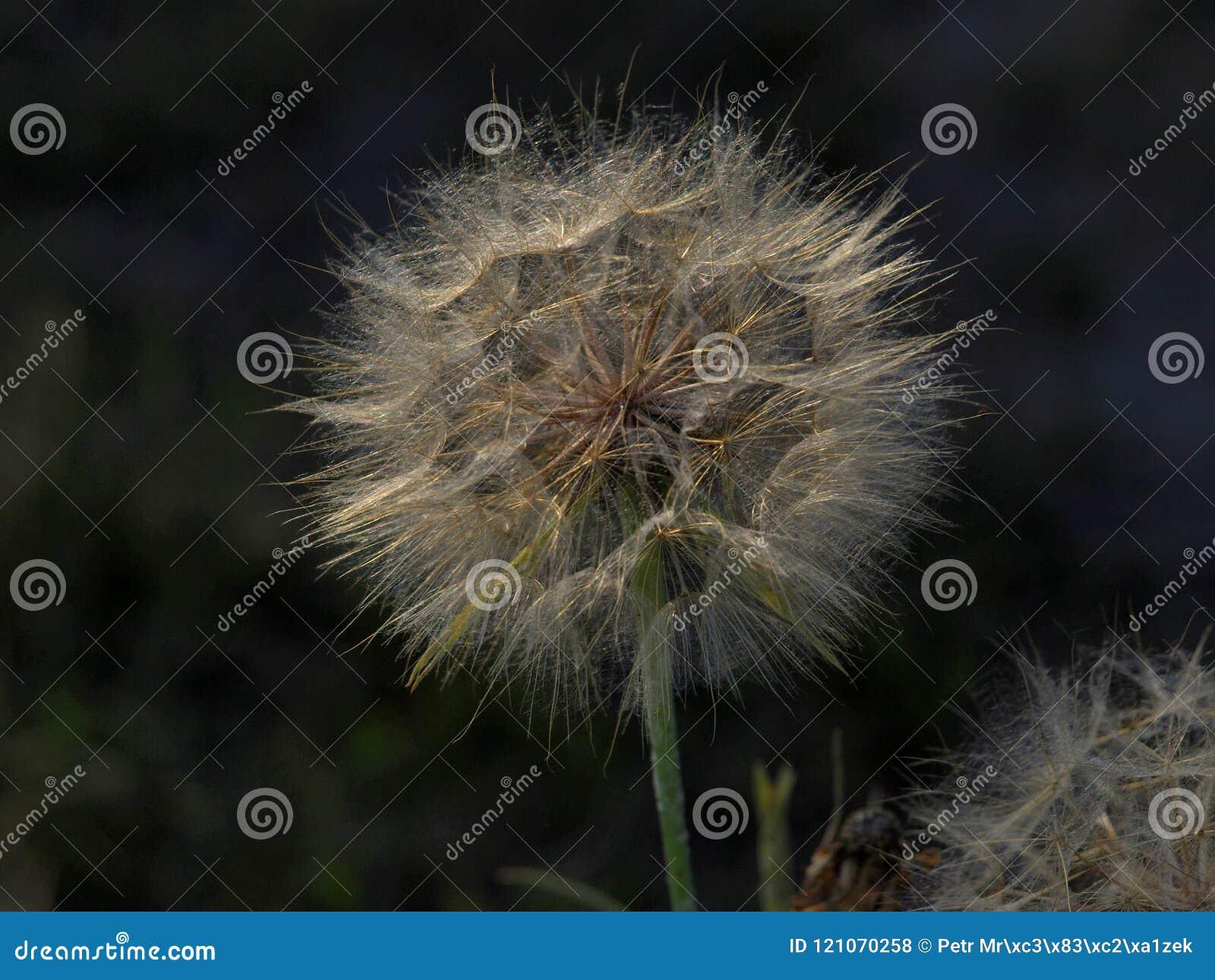 Lanugine che aspetta il vento