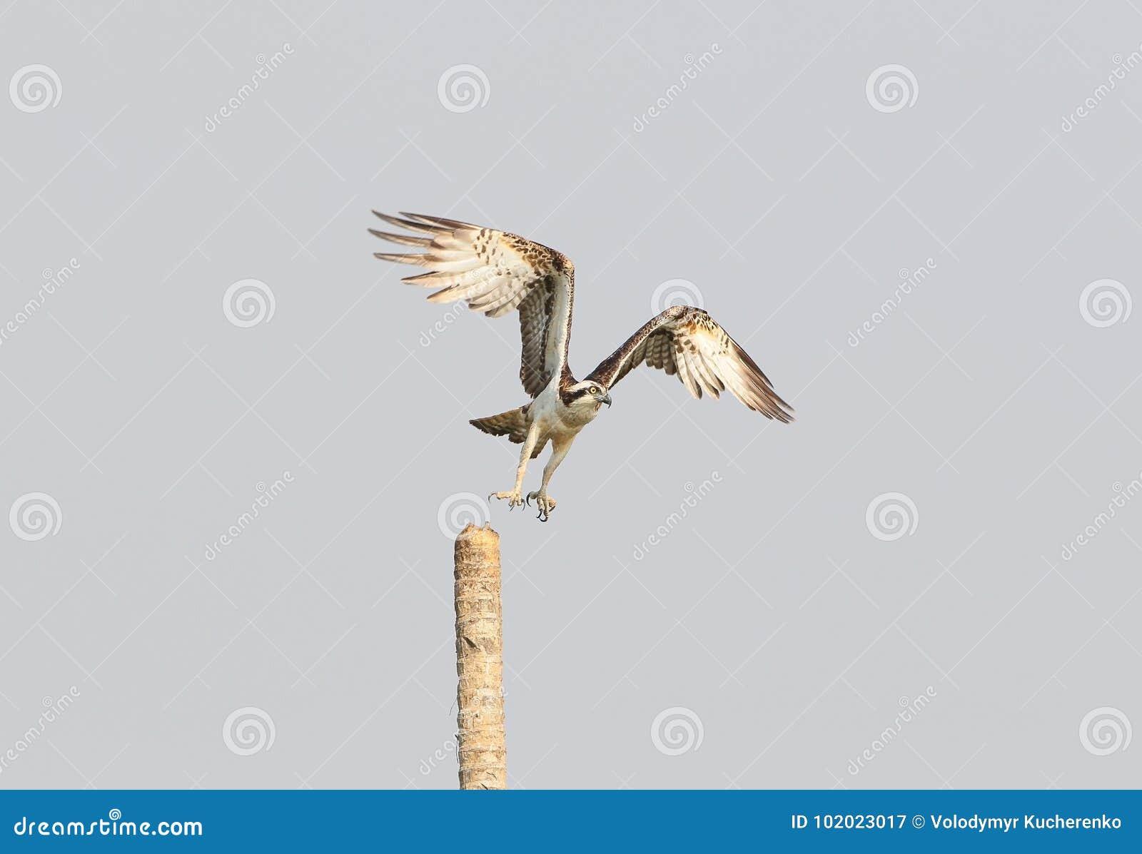 Lanzamiento de Osprey