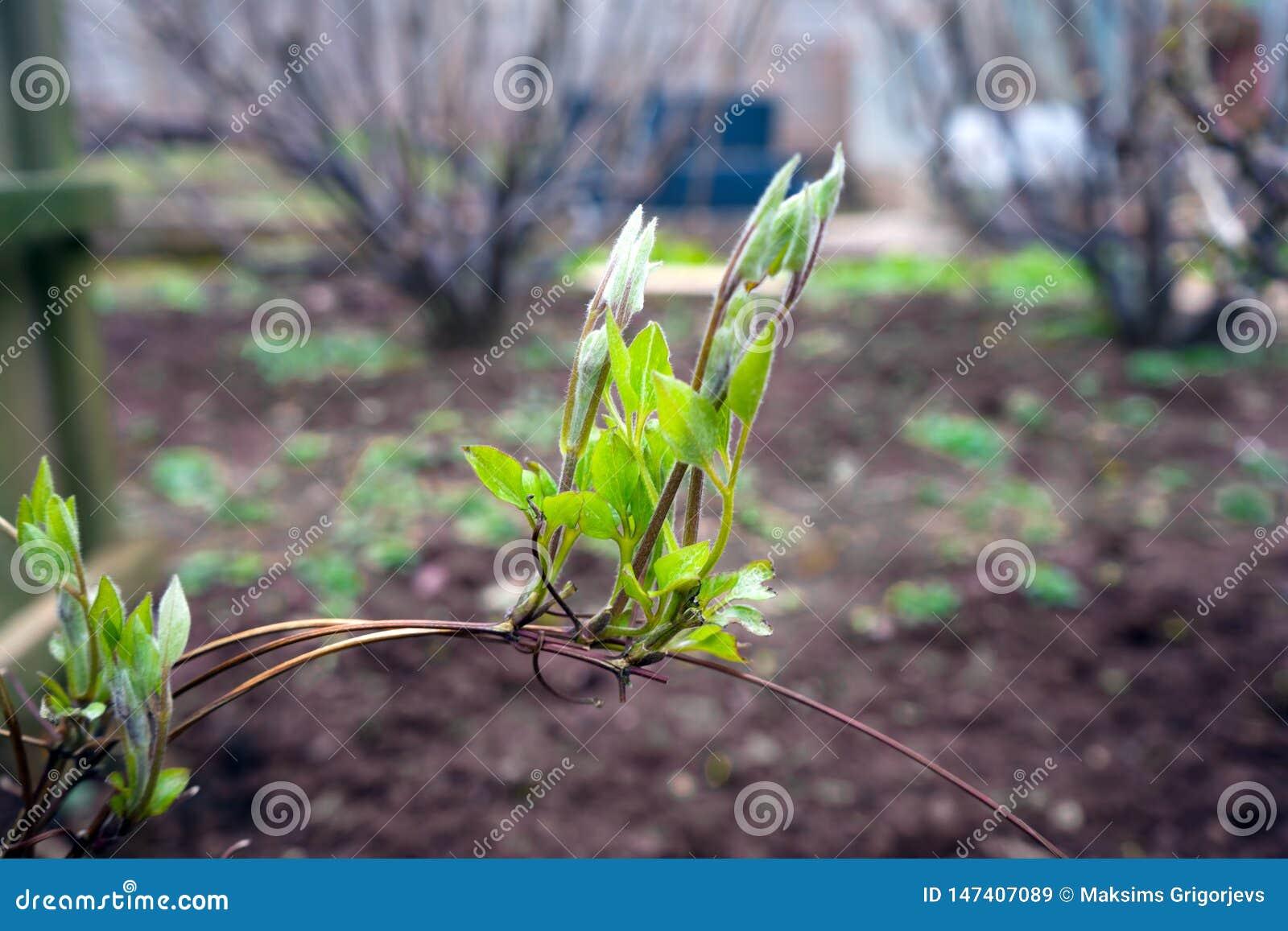 Lanzamientos jovenes de clemátides en jardín verde