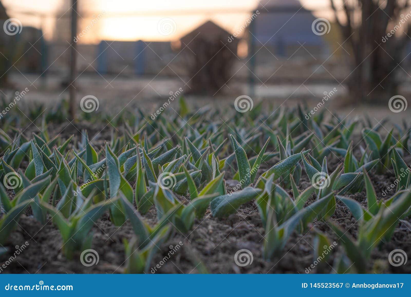 Lanzamientos jovenes de tulipanes