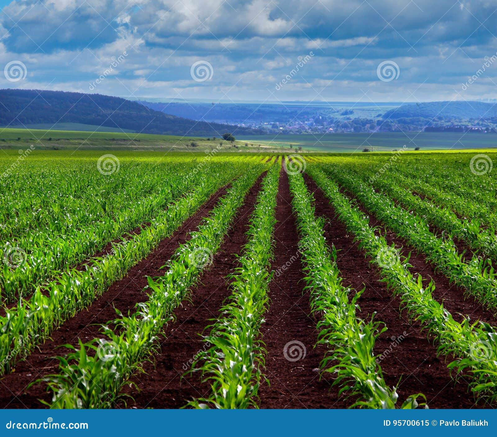 Lanzamientos jovenes del maíz verde en campo