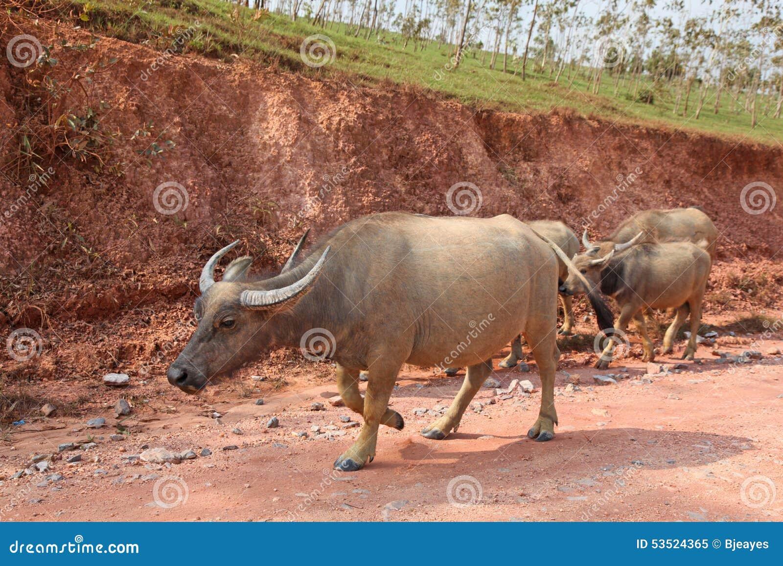 Laos Buffalo