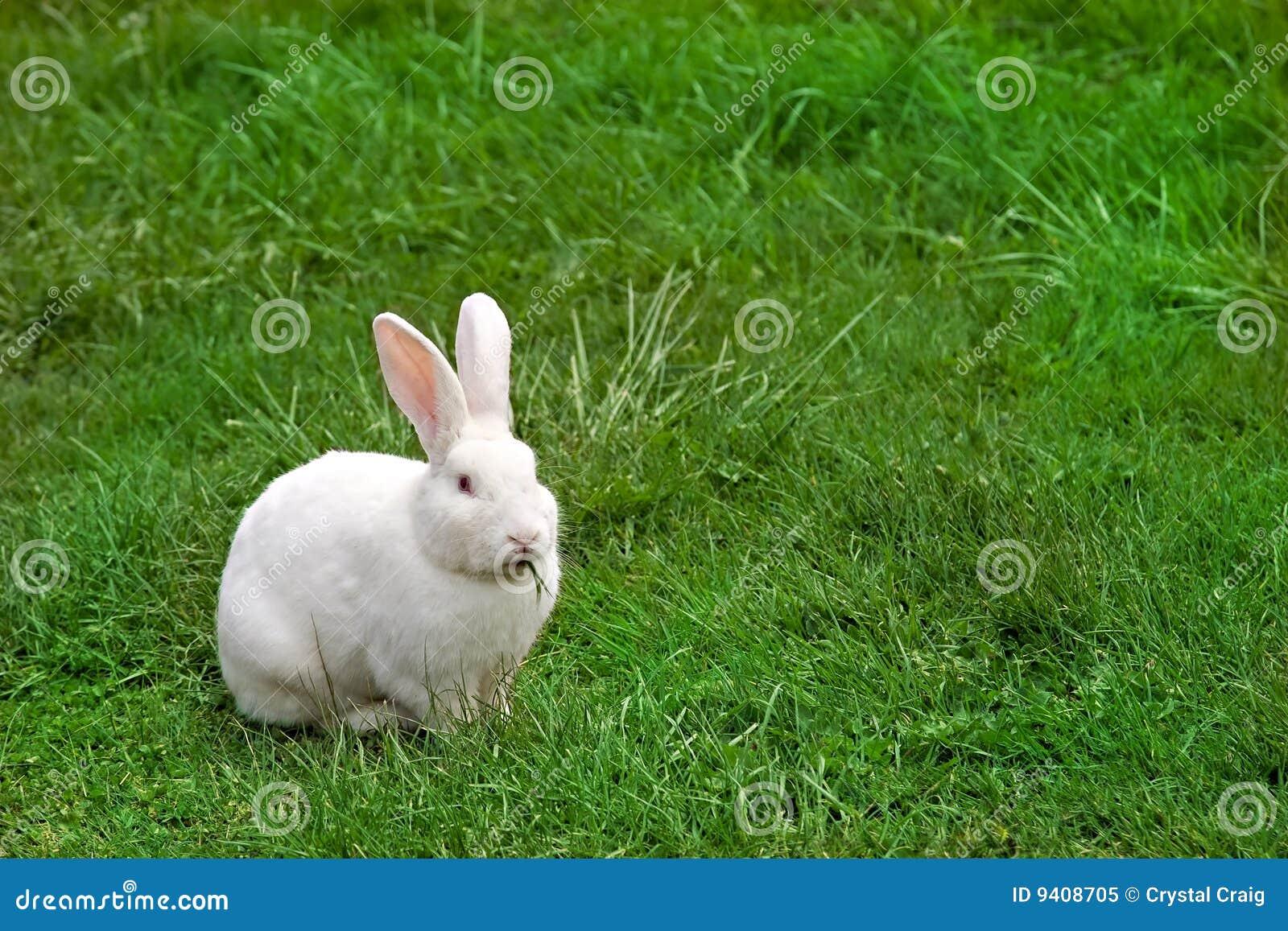Lapin blanc mâchant l herbe