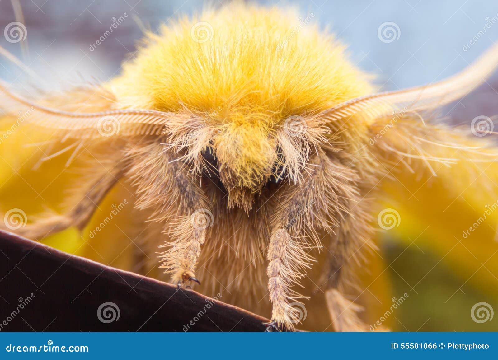 Sưu tập Bộ cánh vẩy  - Page 16 Lappet-moth-female-trabala-viridana-lasiocampidae-macro-shot-55501066