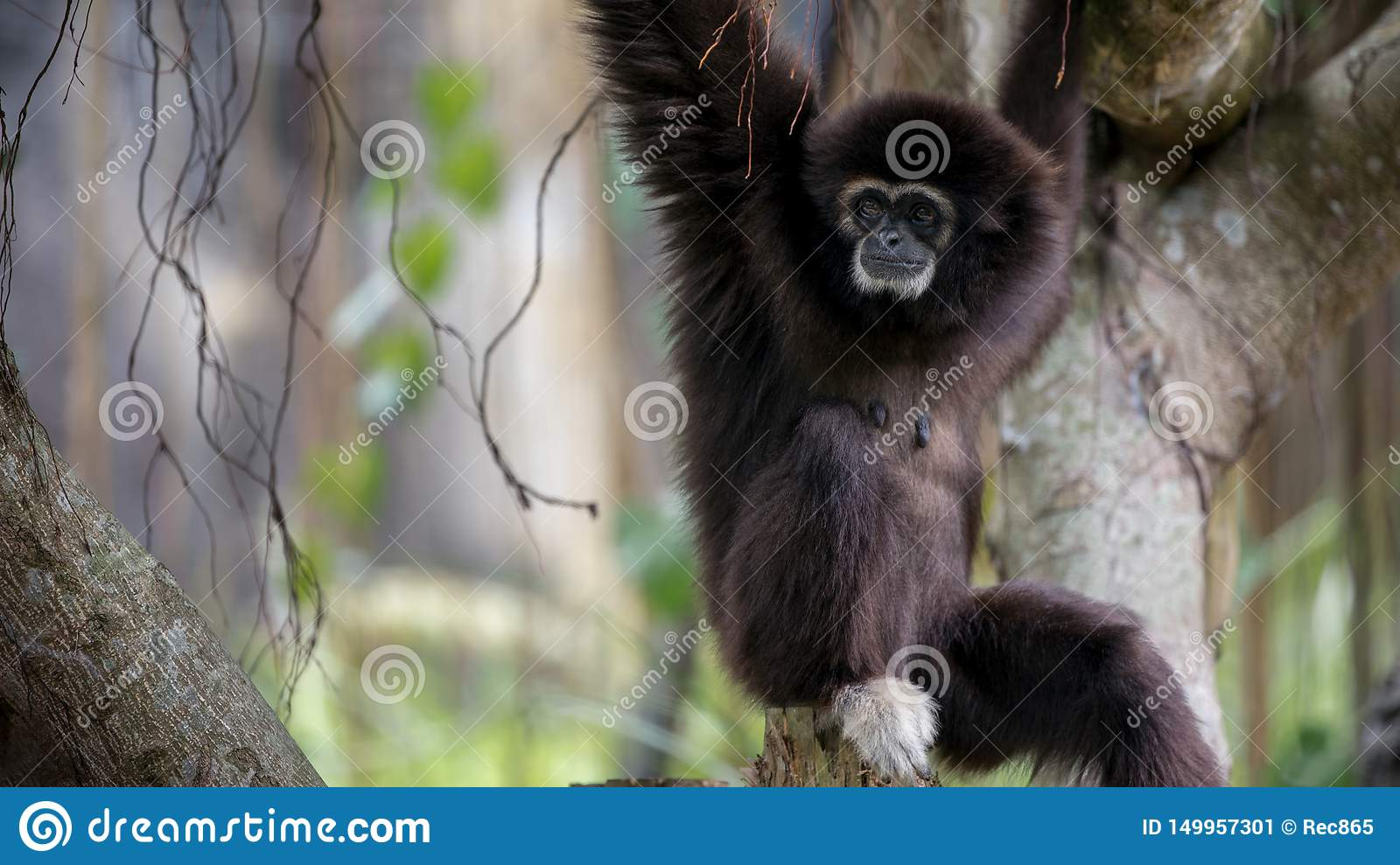 Lar Gibbon is resting on tree branches at the forest. Wild Hylobates Lar
