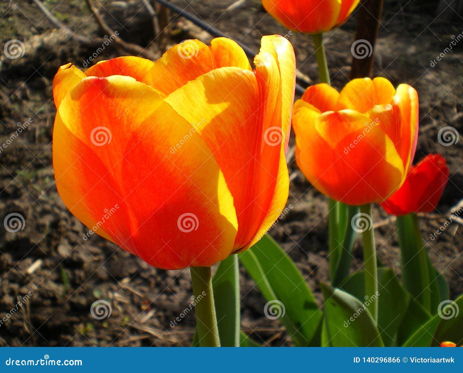 Laranja com as tulipas amarelo-orlaradas iluminadas pelo sol