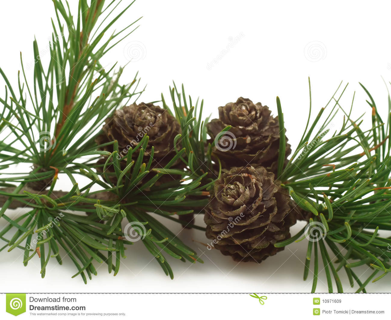 Larch Tree Cones On A Branch Stock Image