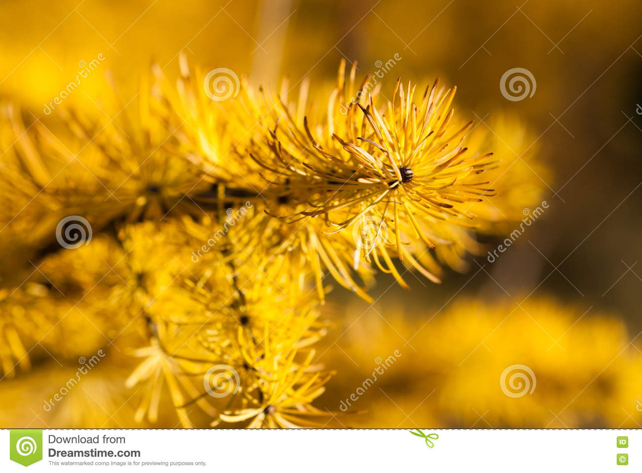 Larch Tree Needles In Autumn Stock Image Image Of Fall Plant