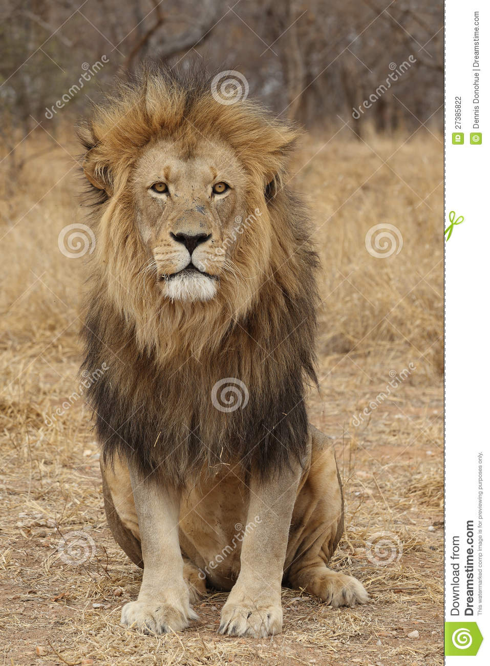 Large African Lion looking