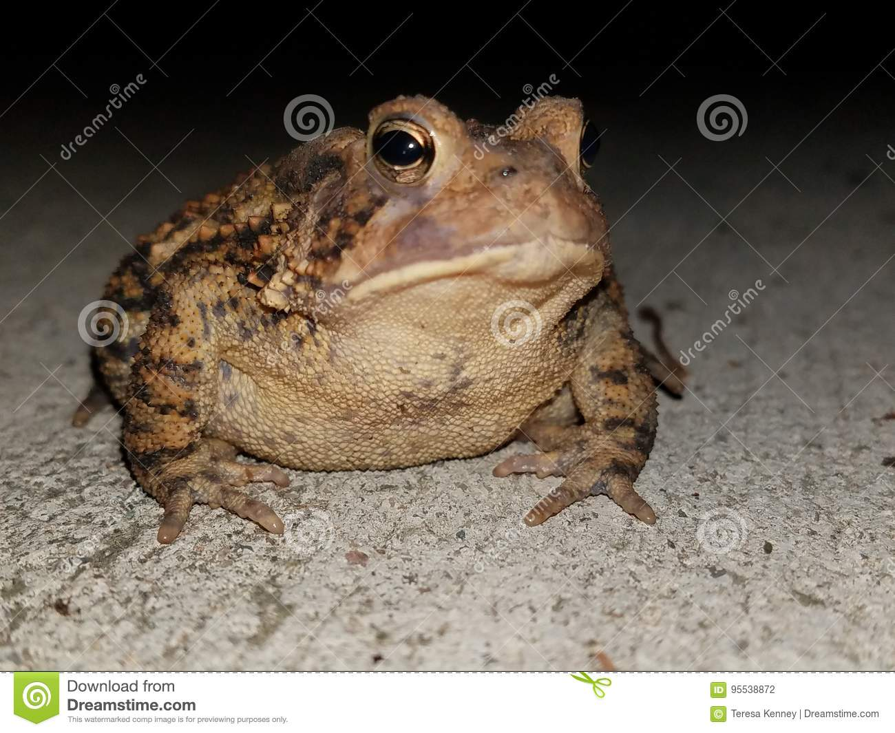 Large American Toad
