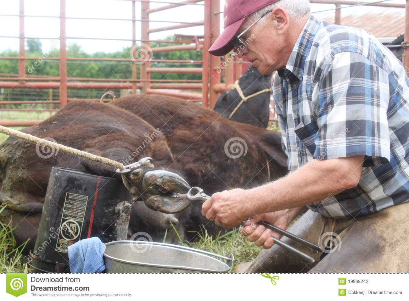 Large Animal Vet At Work 2 stock photo  Image of cowboy