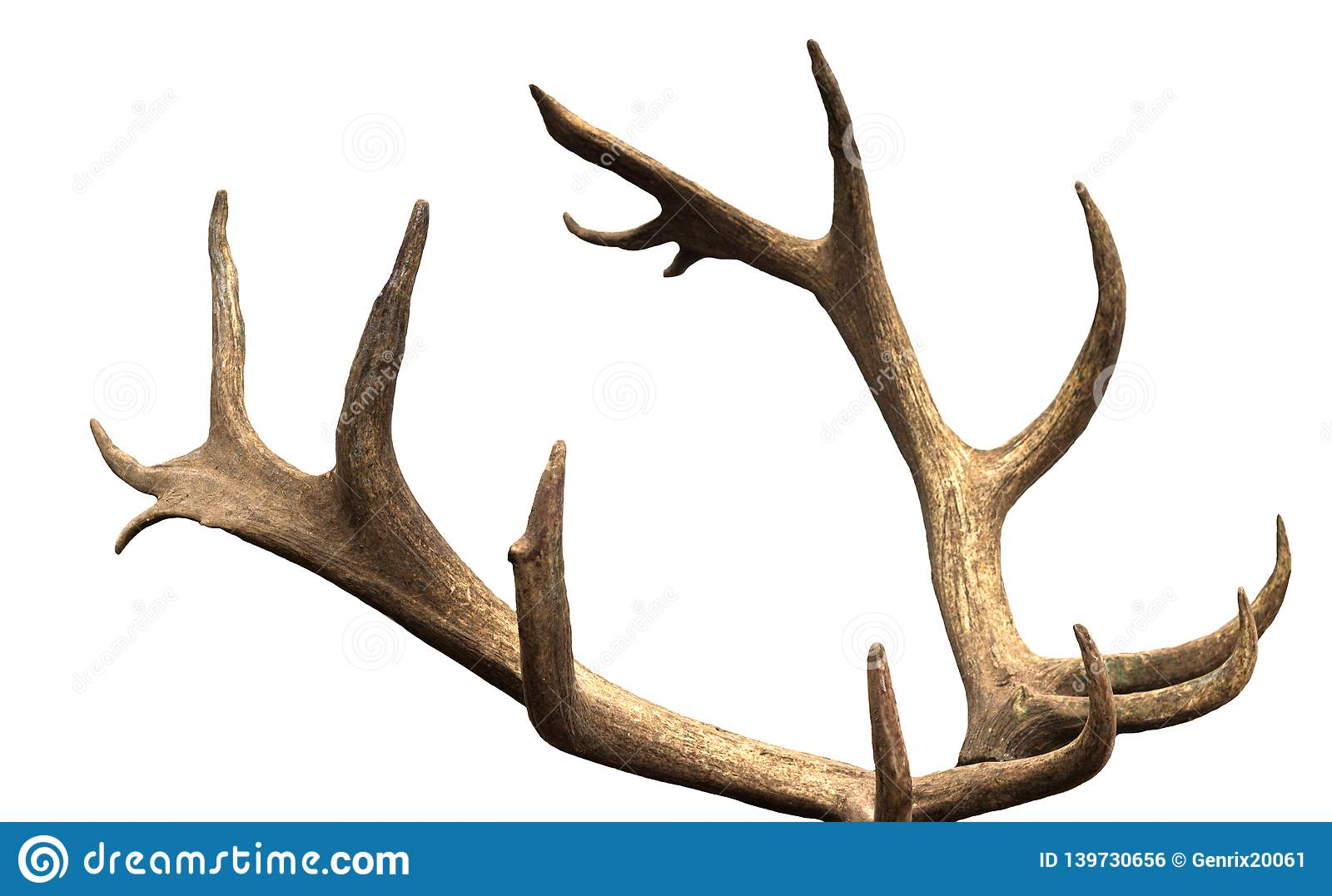 Large antler maral deer on a white background, isolate, horn