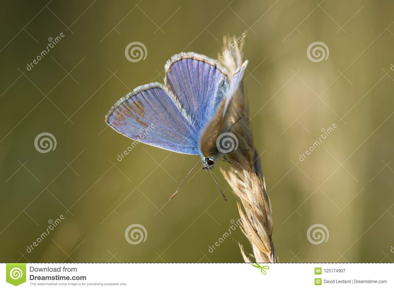Blue azure single insect butterfly profile in vertical close-up view in summer on green and yellow background laid on a blade of g