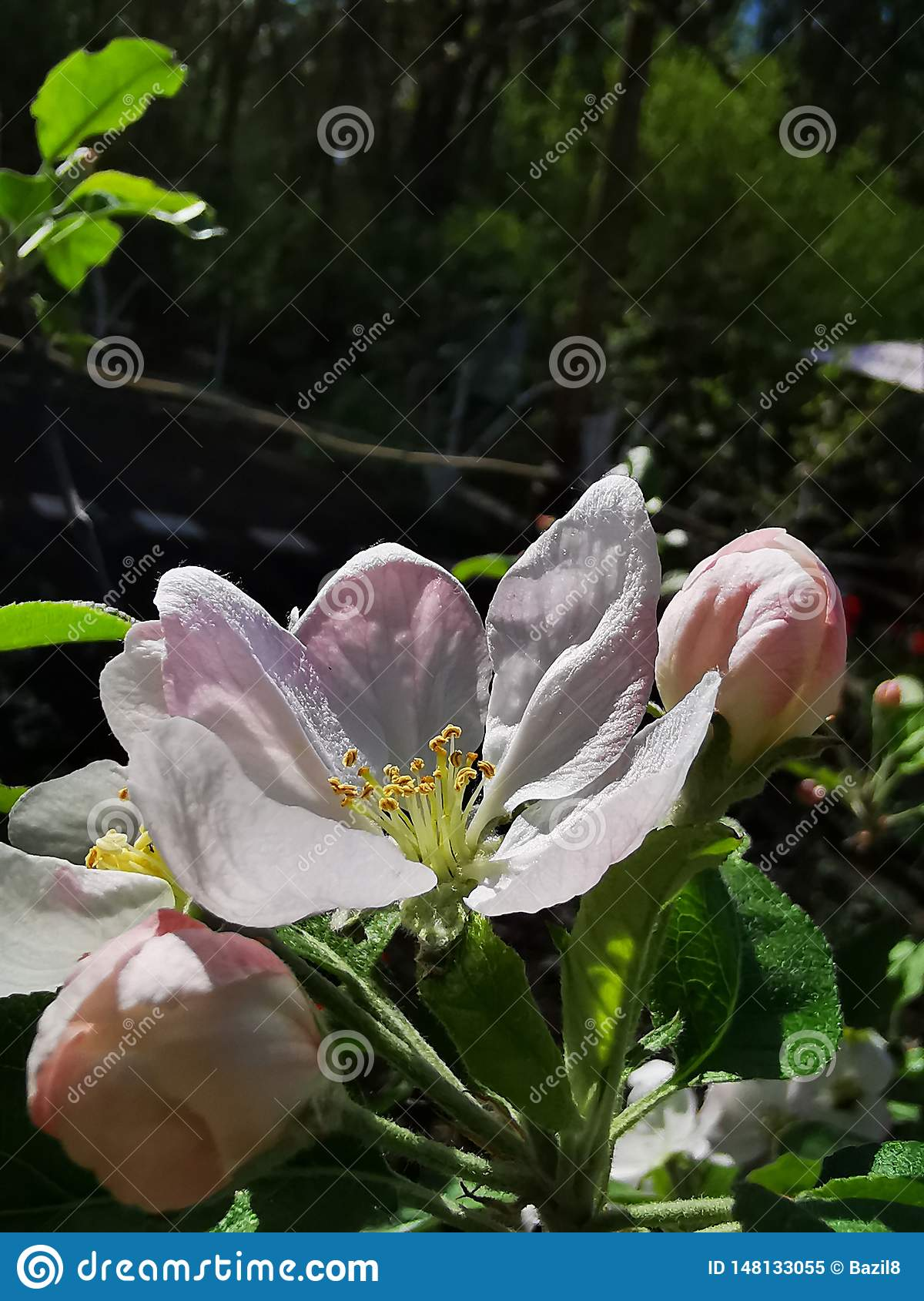 Large apple flower