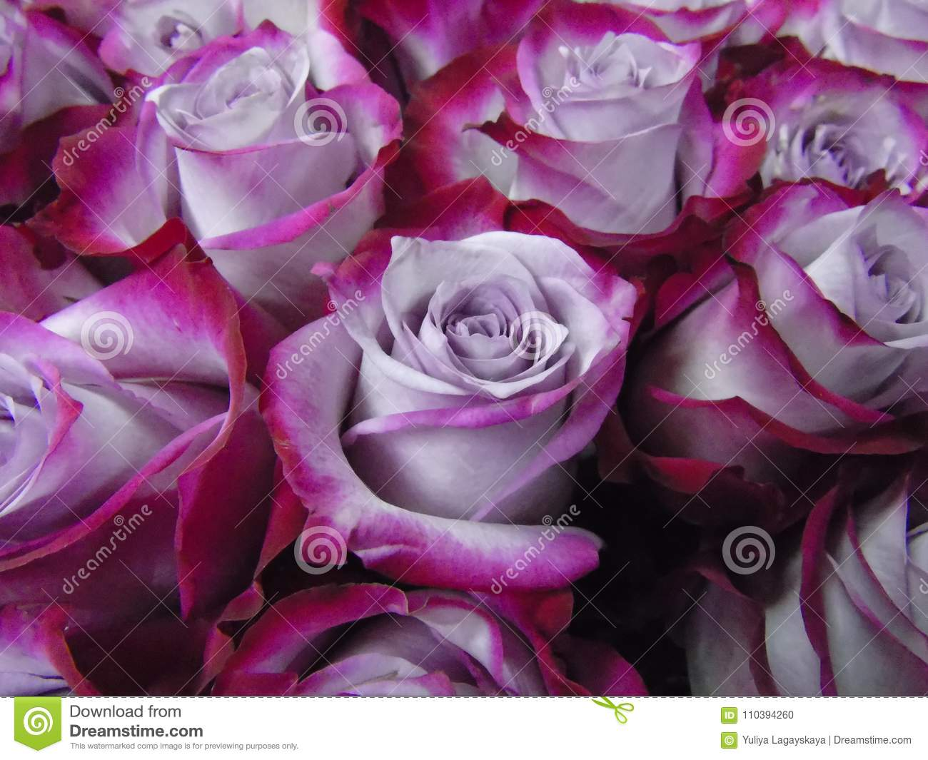 A Large Bouquet Of Roses, Two-tone Purple And Raspberry ... |Two Tone Lavender Roses