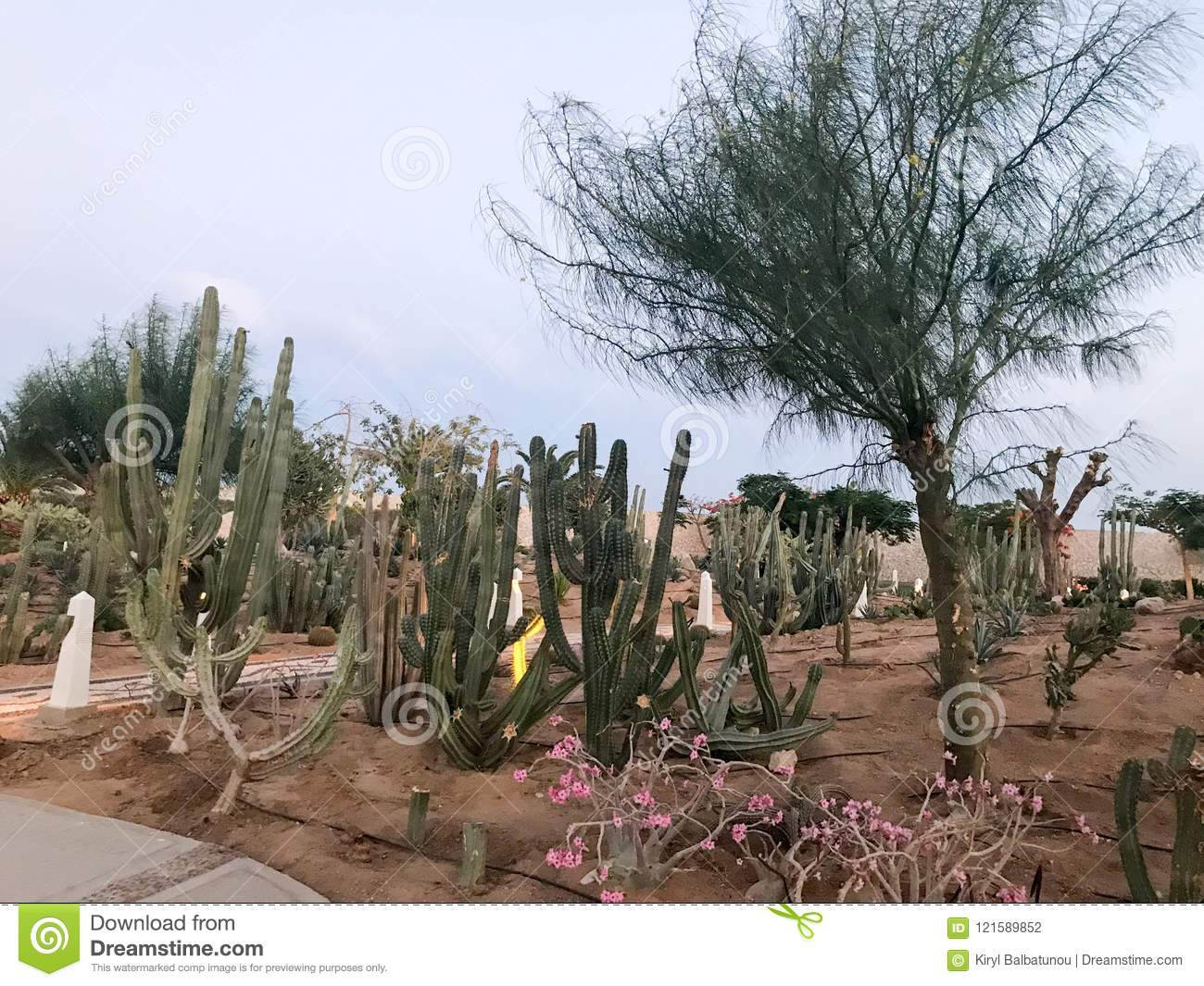 A large beautiful garden of Mexican green prickly cactus, exotic trees, plants, tropical in arid dry warm countries, desert, Egypt
