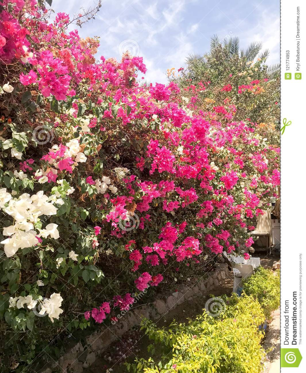 A Large Beautiful Lush Shrub An Exotic Tropical Plant With White